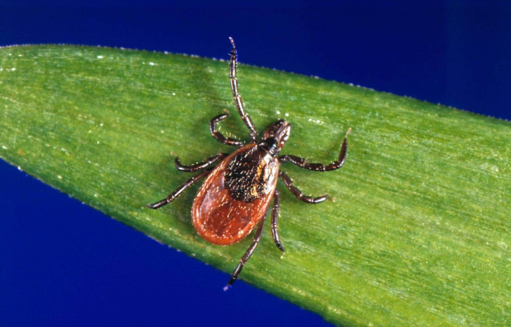 La maladie de Lyme est causée par une bactérie transmise par la piqûre d'une tique infectée.