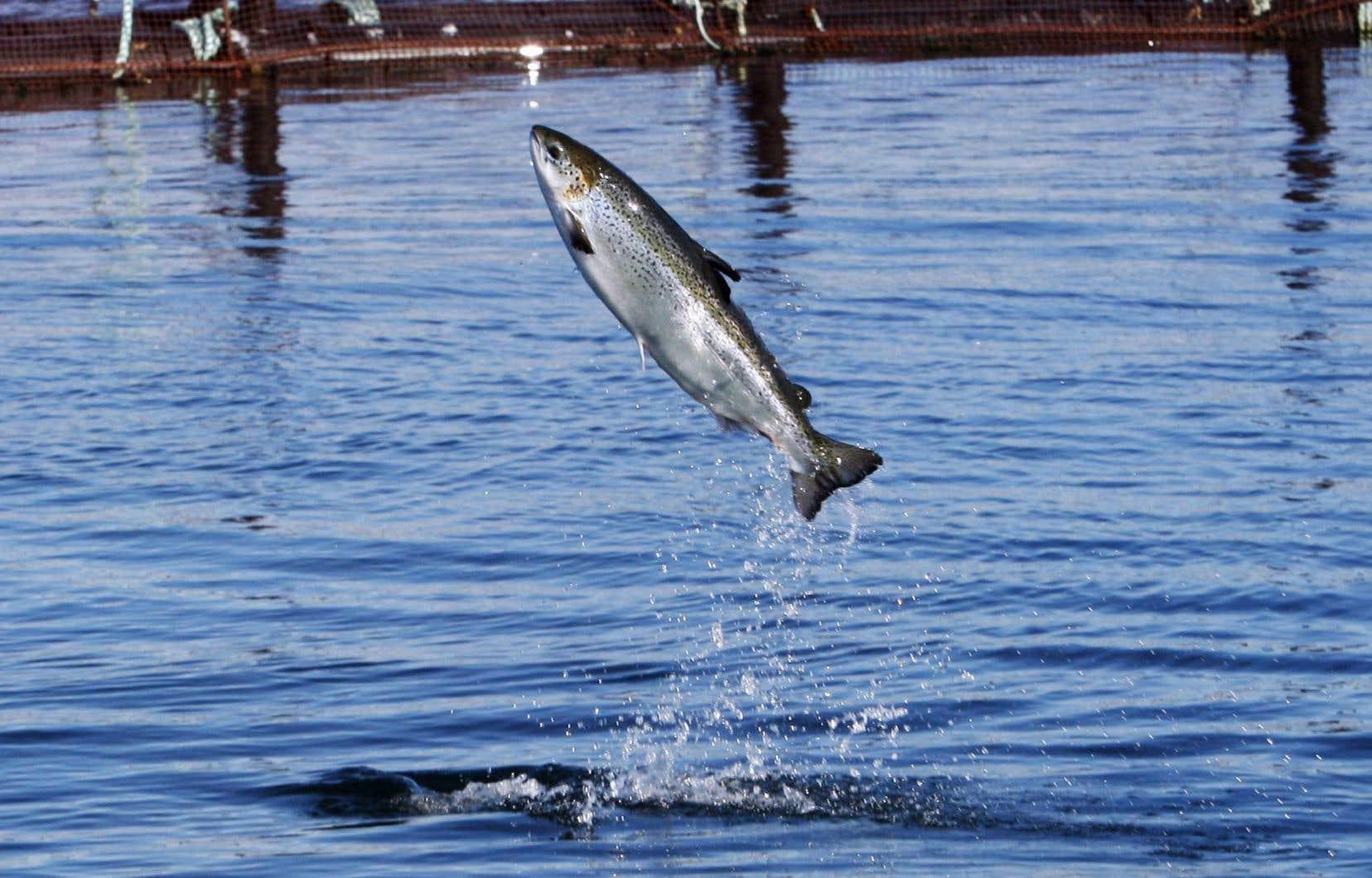 Le gouvernement fédéral ne ferme pas la porte à la production de saumons génétiquement modifiés pour consommation humaine dans l'Île-du-Prince-Édouard.