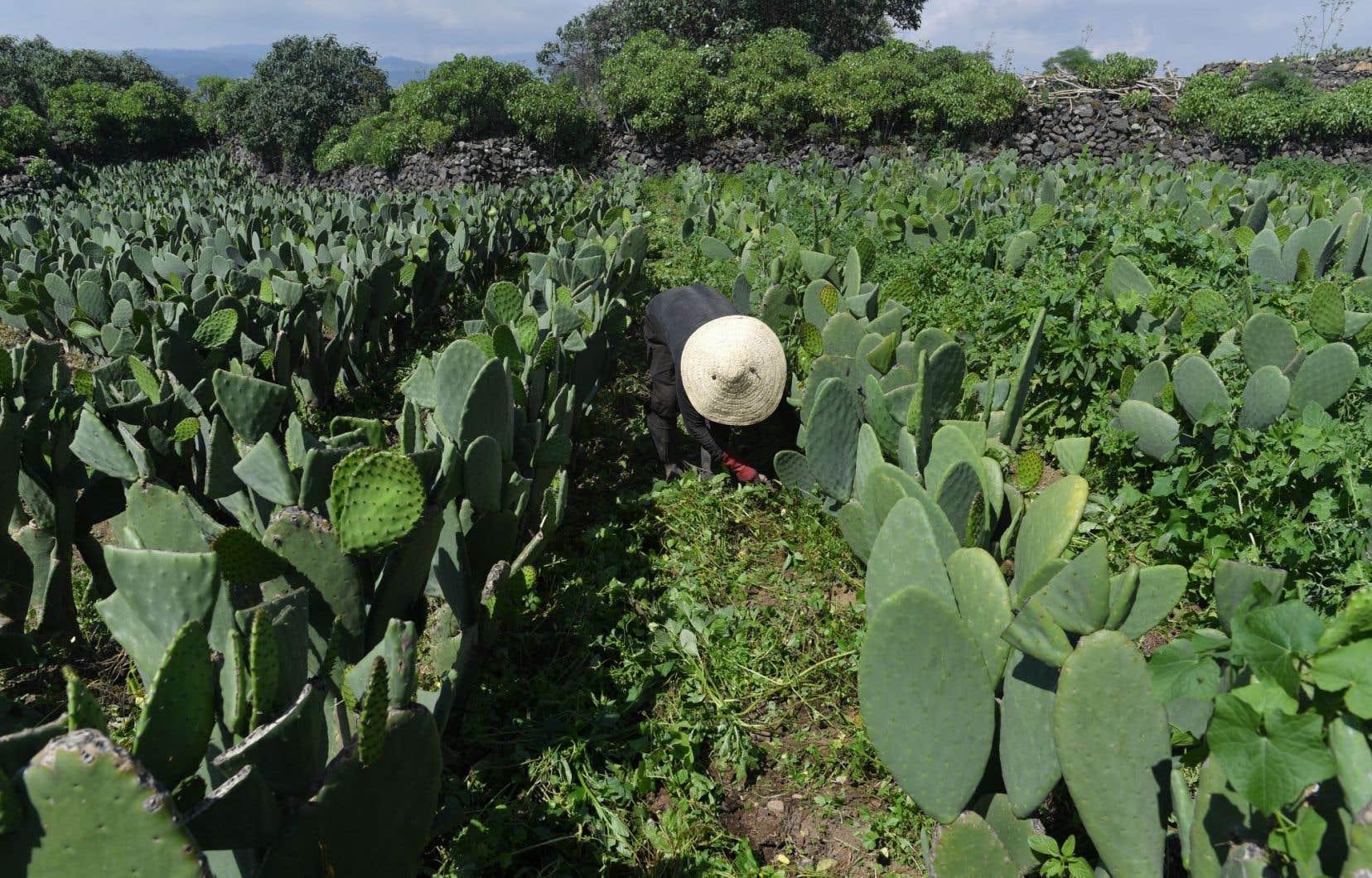 <p>Un paysan travaille dans des rangées de figuier de Barbari plantées sur les flancs du volcan éteint Teuhtli, au Mexique.</p>
