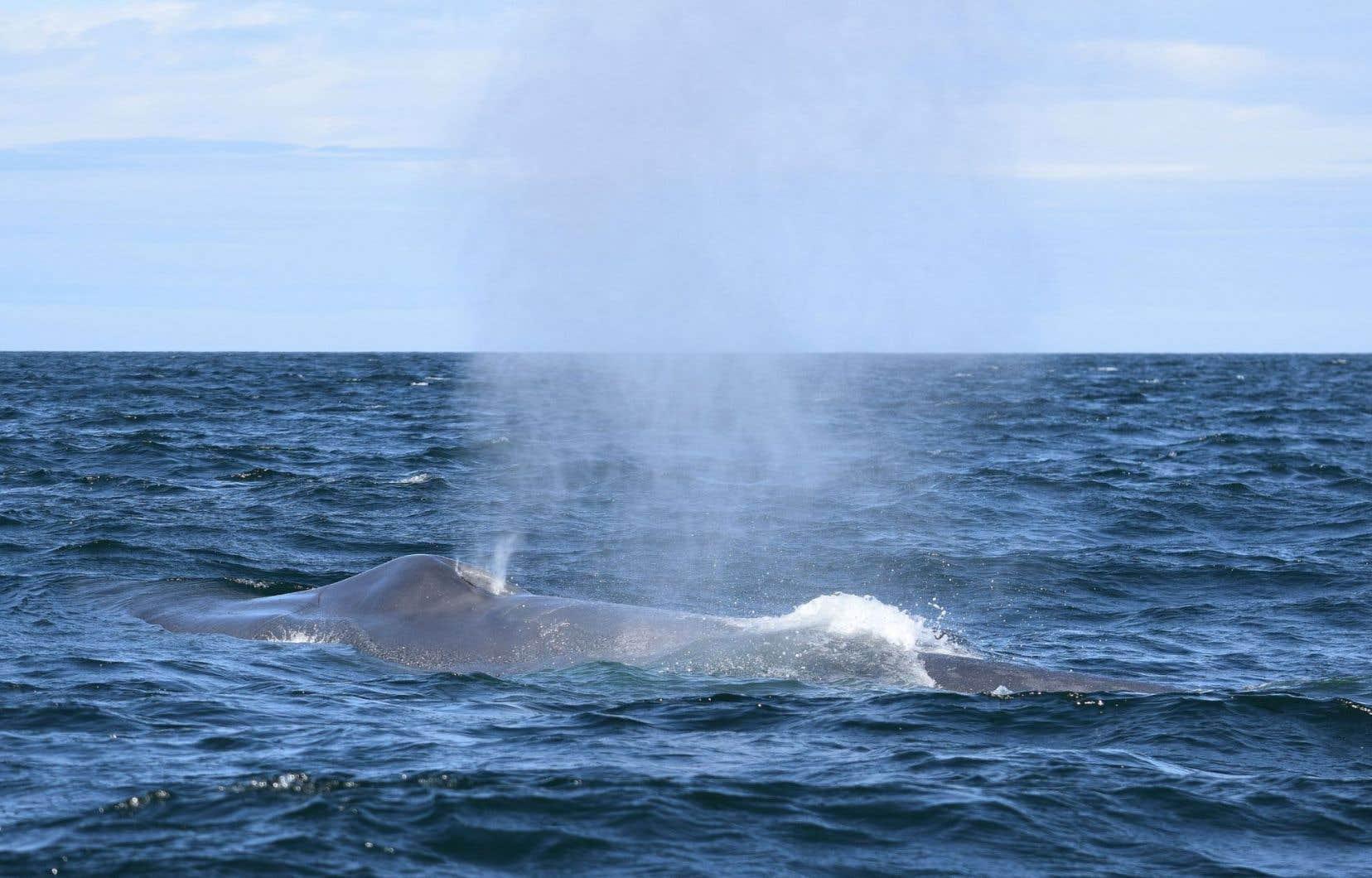 La baleine bleue B311, qui mesure entre 22 et 25 mètres, fait surface, au large de Cap-Gaspé.