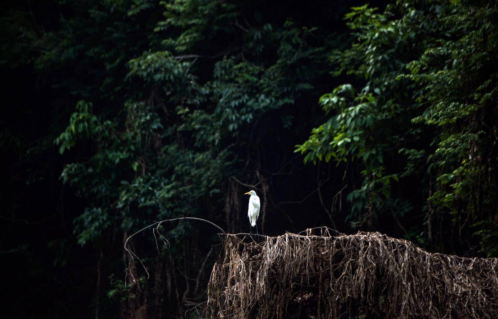 Un héron sur la berge du Rio Negro.Plus de 2000 nouvelles espèces au cours des 17 dernières années en Amazonie.