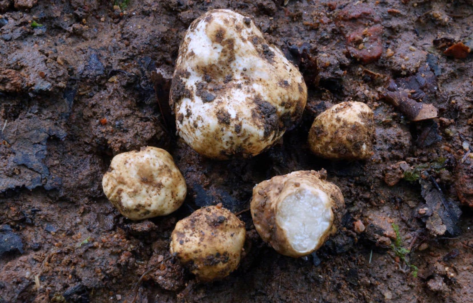 La première espèce de truffe, blanche, découverte dès 2014, a enfin été répertoriée sous le nom «thailanddicum».