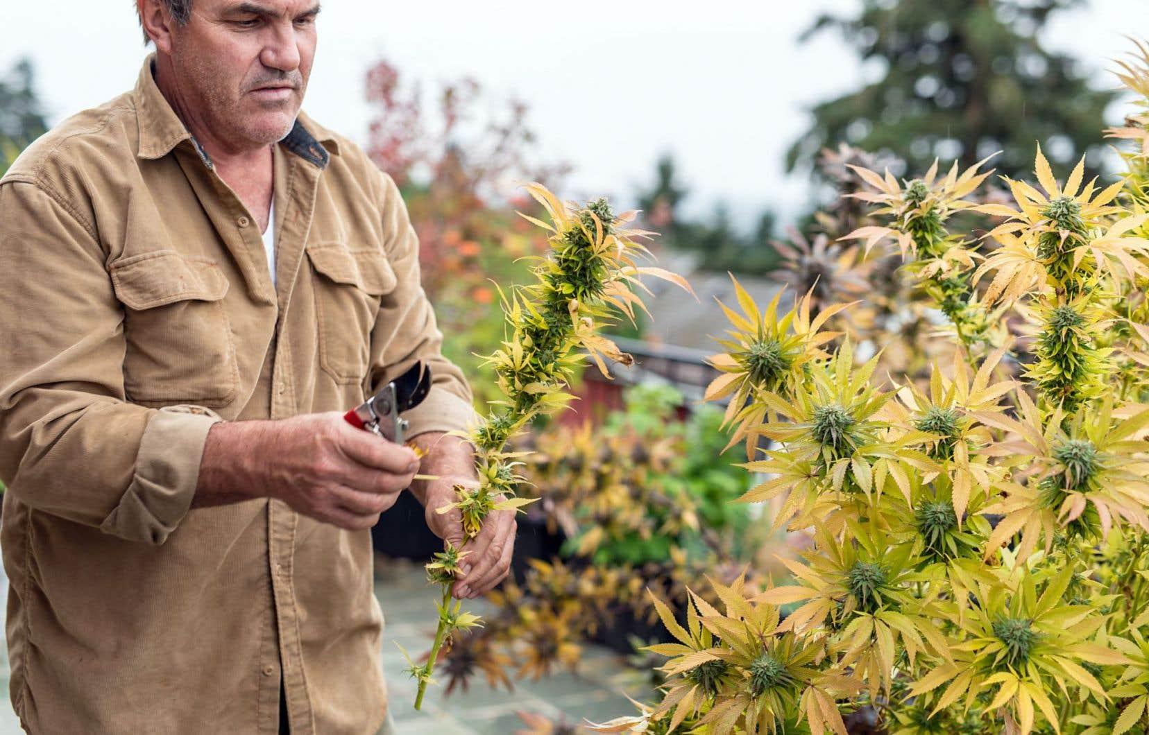 L'Institut de recherche et d'informations socio-économiques (IRIS) évaluait, en décembre, le marché québécois du cannabis récréatif à 1,3milliard de dollars.