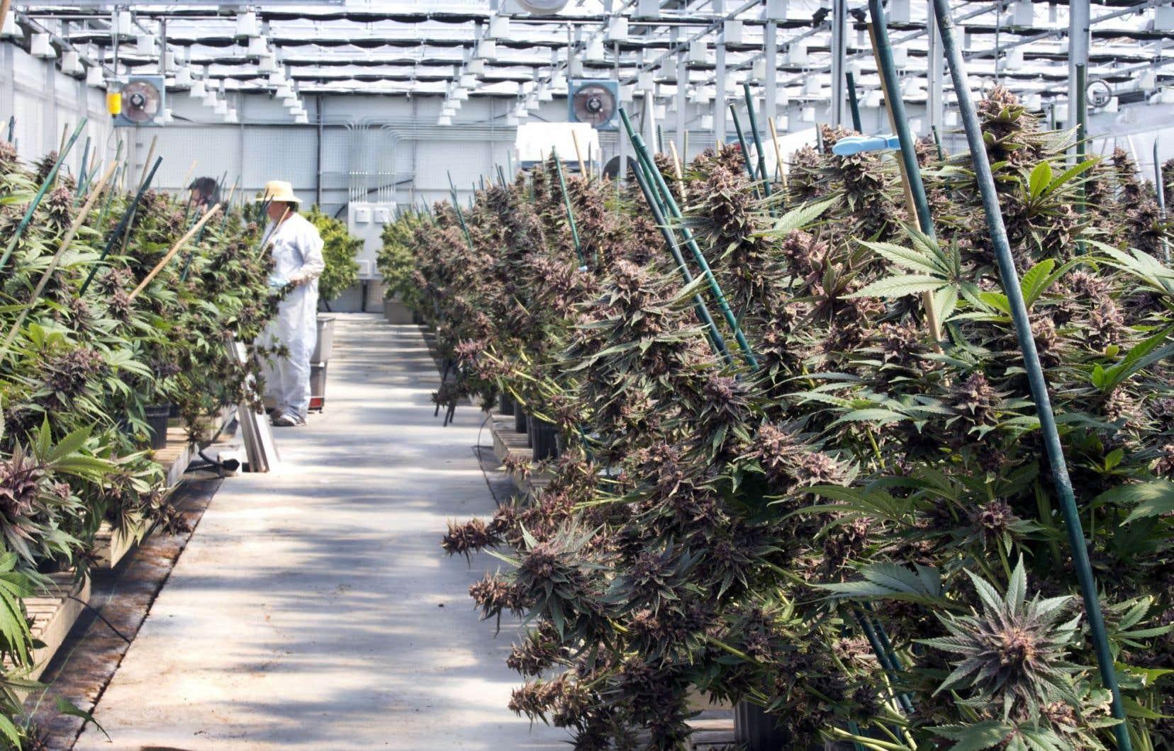 À l'heure actuelle, le Québec compte un seul producteur autorisé de cannabis médical, Hydropothicaire, dont les serres sont en Outaouais. Les choses pourraient rapidement changer avec la légalisation de la marijuana récréative.