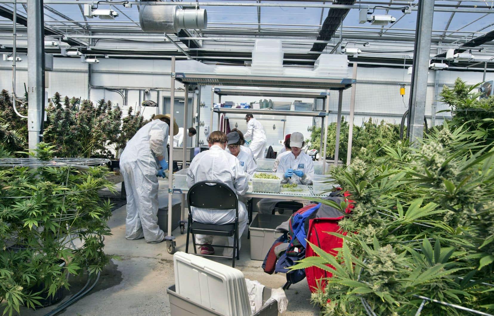 Le gouvernement doit récupérer la distribution du cannabis à des fins récréatives et thérapeutiques sur le modèle de la SAQ.