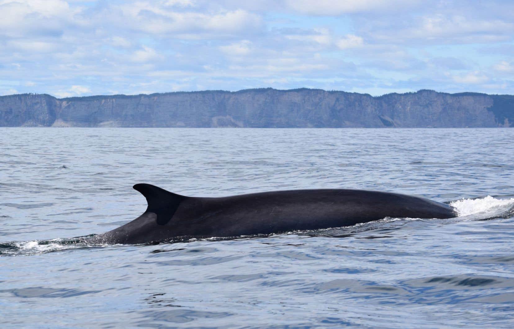 Situé au large de la Gaspésie, le banc des Américains est un secteur fréquenté par le rorqual commun, une espèce dont la situation est «préoccupante».