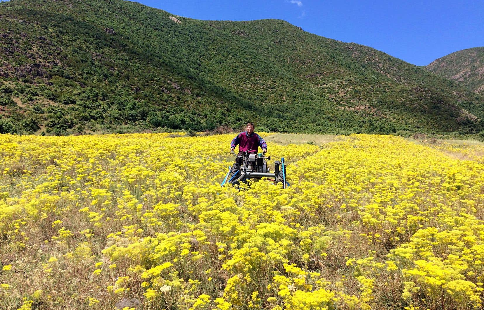 Voici une parcelle de démonstration d'agromine — l'extraction de minerais du sol à l'aide de plantes — d'«Alyssum murale», une plante hyperaccumulatrice de nickel, à Pojska, en Albanie.