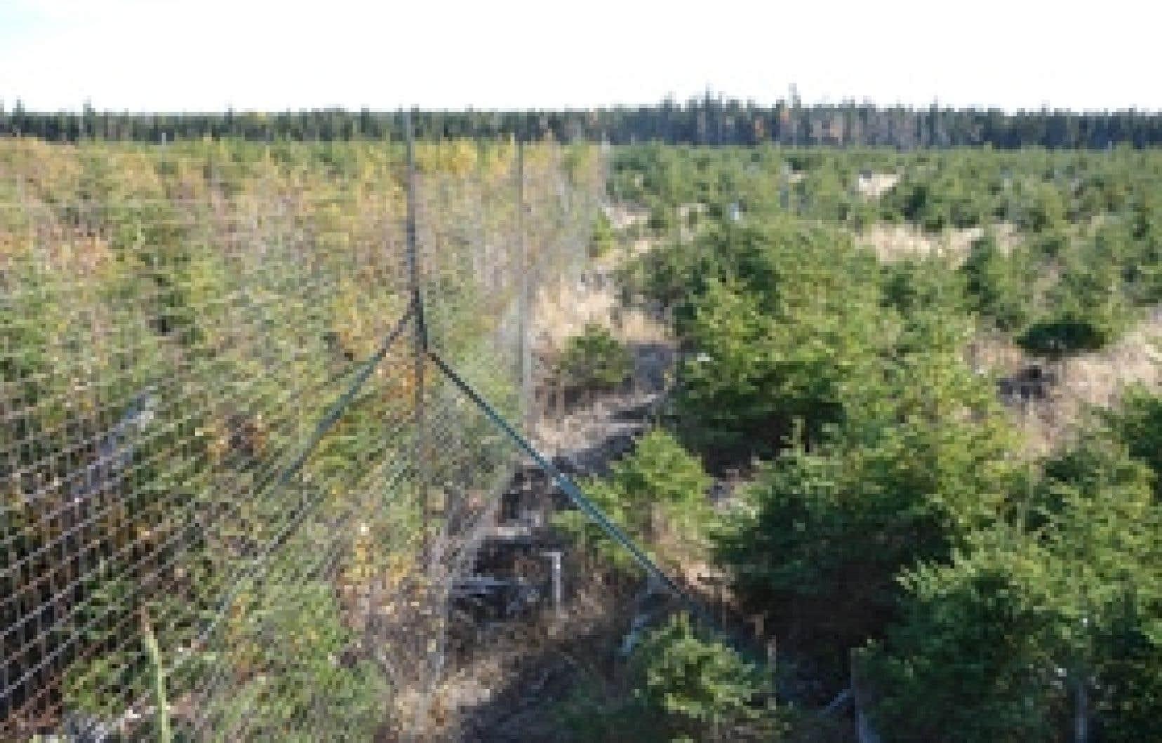 Dans un même parterre de coupe forestière, une végétation feuillue, parsemée de sapins et d'arbustes divers, reprend immédiatement dans l'exclos, dont les cerfs sont exclus. À l'extérieur (à droite), seules les épinettes blanches surviven