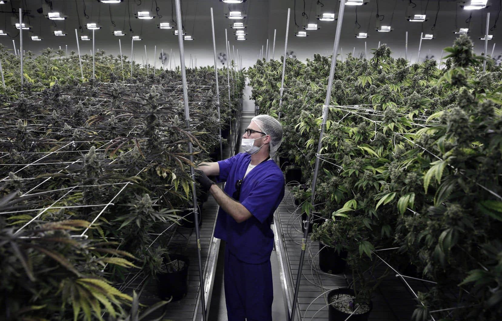 Les conséquences financières de la légalisation du cannabis pour les villes demeurent encore inconnues.