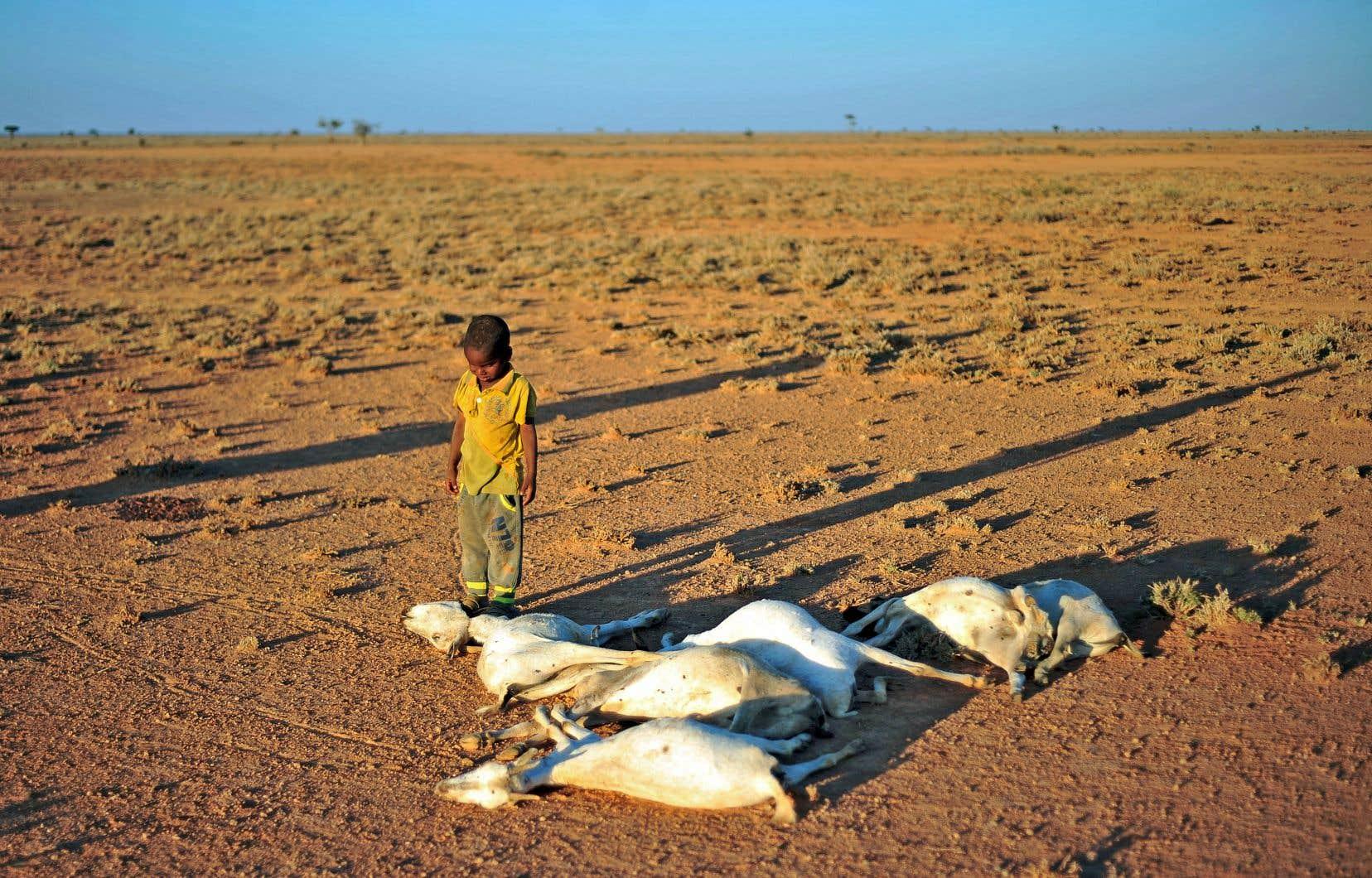 Une période de sécheresse en Somalie, en 2016, a grièvement affecté les troupeaux.
