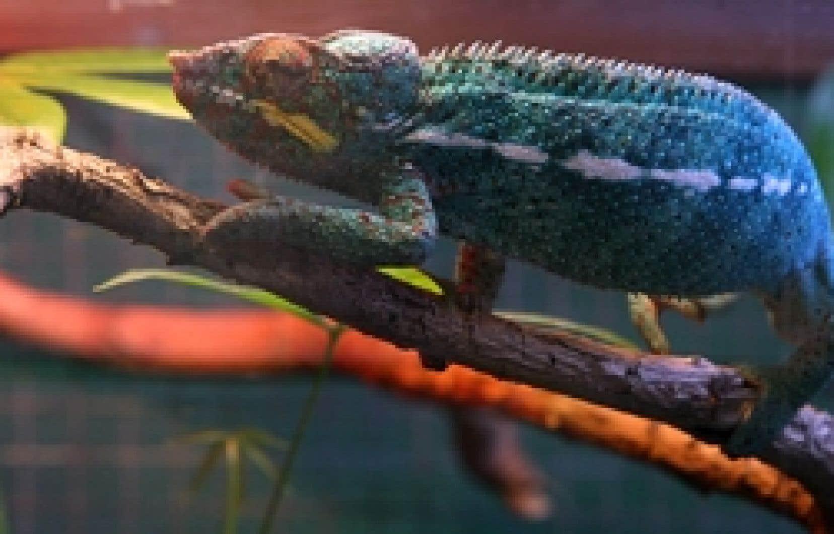 La diète du caméléon se compose d'insectes, dont plusieurs variétés de vers. Mmmmmmm...
