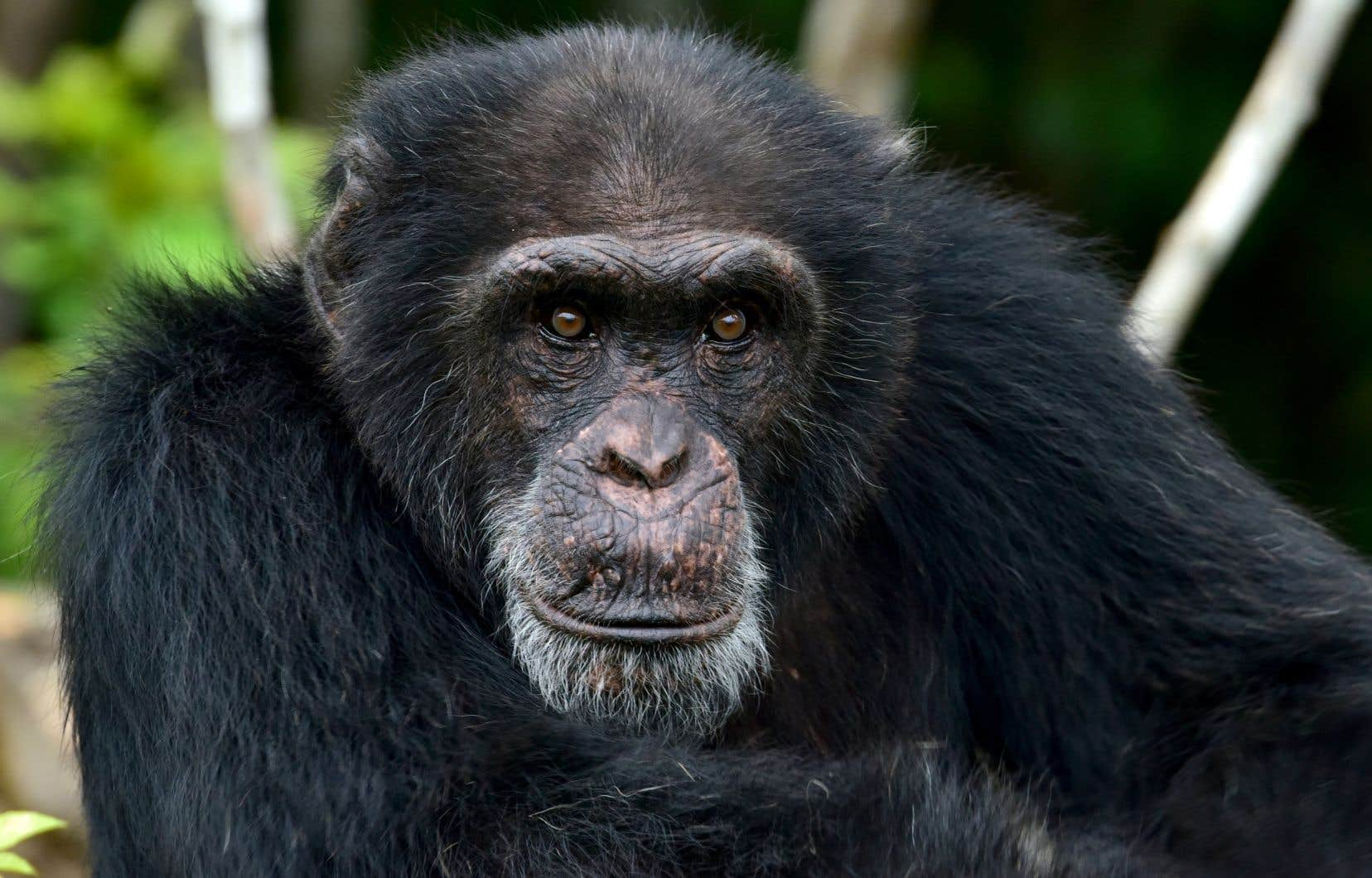 Cette étude laisse penser que les systèmes de communication influencés par la perspective des autres seraient apparus dès les premières lignées d'hominoïdes.