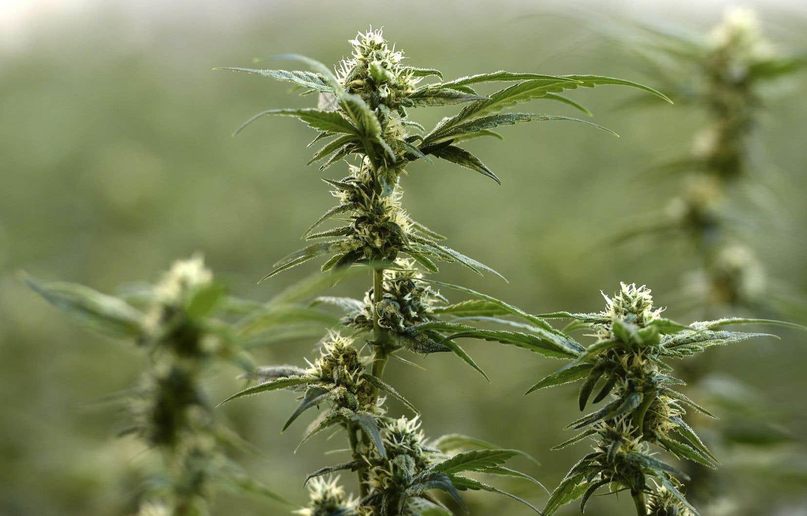Le gouvernement Couillard a entre autres dérogé au plan fédéral en interdisant complètement la production de marijuana à domicile.