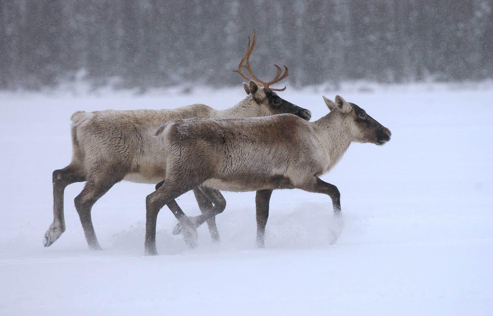 Cette «grande aire» doit permettre de «protéger un habitat de haute qualité» pour le caribou forestier, une espèce «vulnérable».