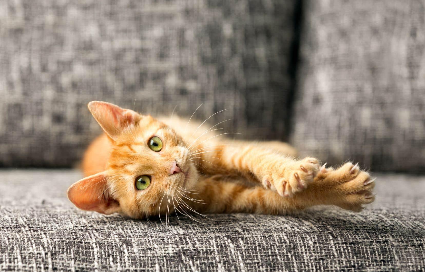 Plusieurs pays d'Europe, ainsi que l'Australie, ont abandonné la chirurgie du dégriffage des chats depuis des années.