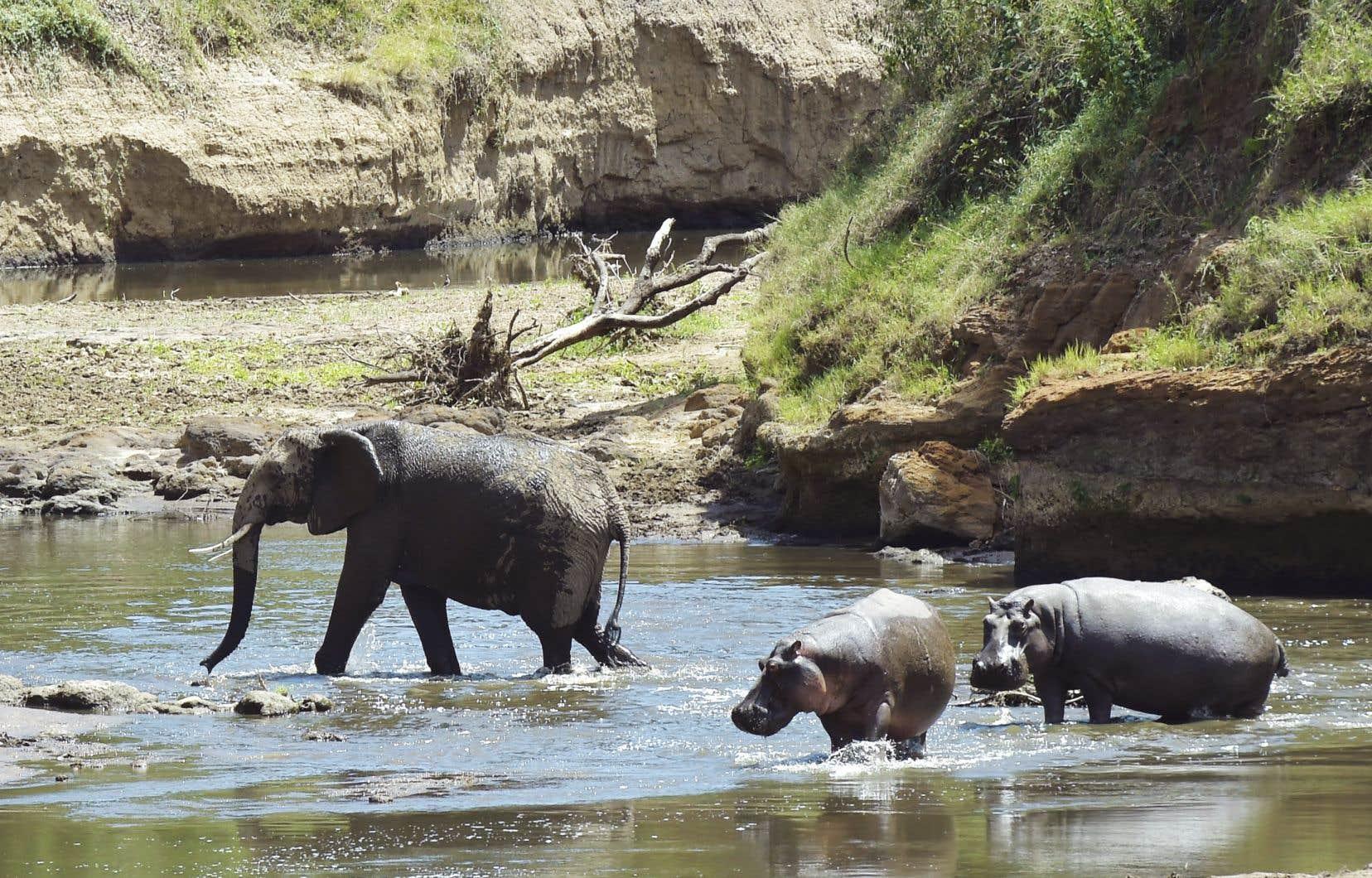 Un éléphant et des hippopotames dans le lit de la rivière Mara, au Kenya, dont le bassin forme l'une des plus grandes réserves naturelles d'Afrique.