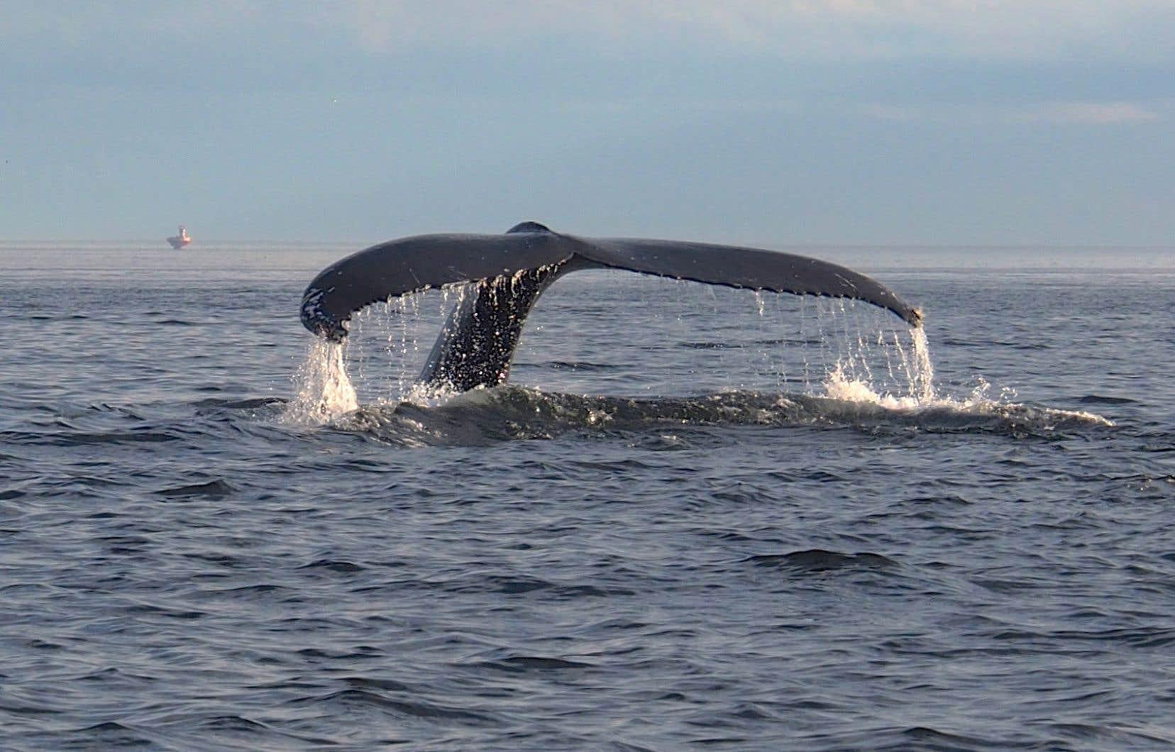 Le parc marin du Saguenay–Saint-Laurent, le seul du genre au Québec, a été créé pour protéger la biodiversité de l'estuaire, dont les cétacés qui le fréquentent assidûment. Ici, la baleine à bosse Tic Tac Toe, une vedette du parc marin.