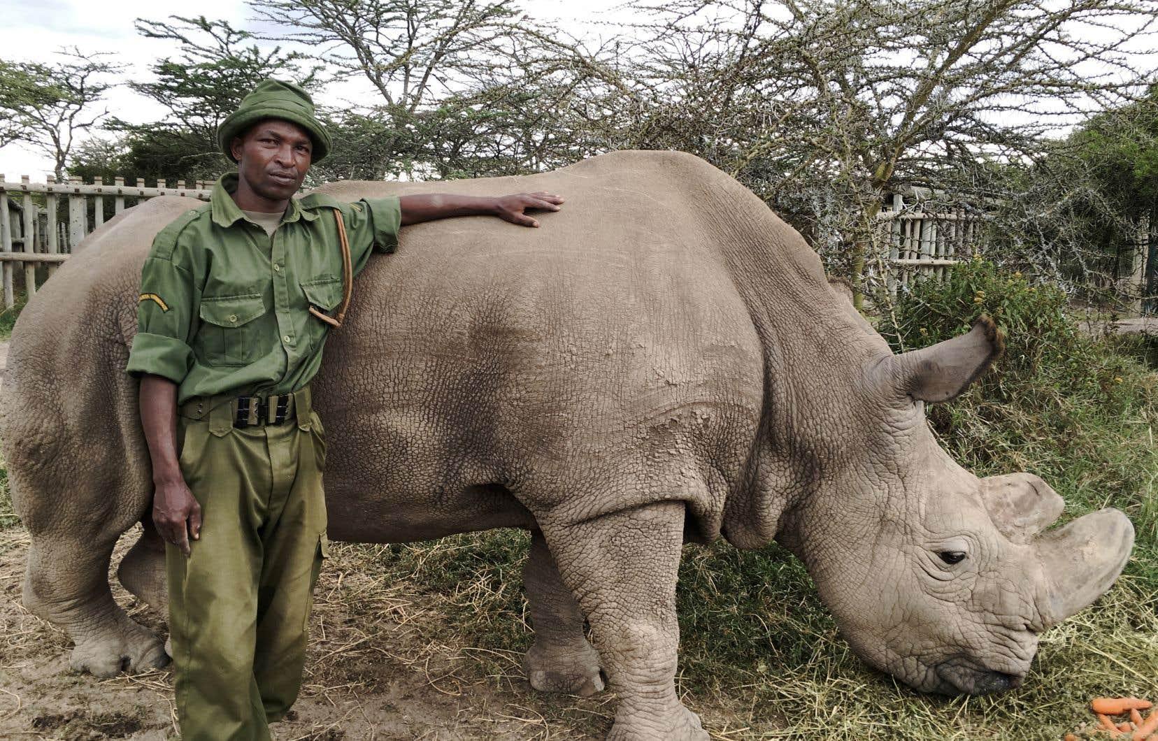«The Last Rhino» met en scène Sudan, le dernier mâle rhinocéros blanc du Nord.