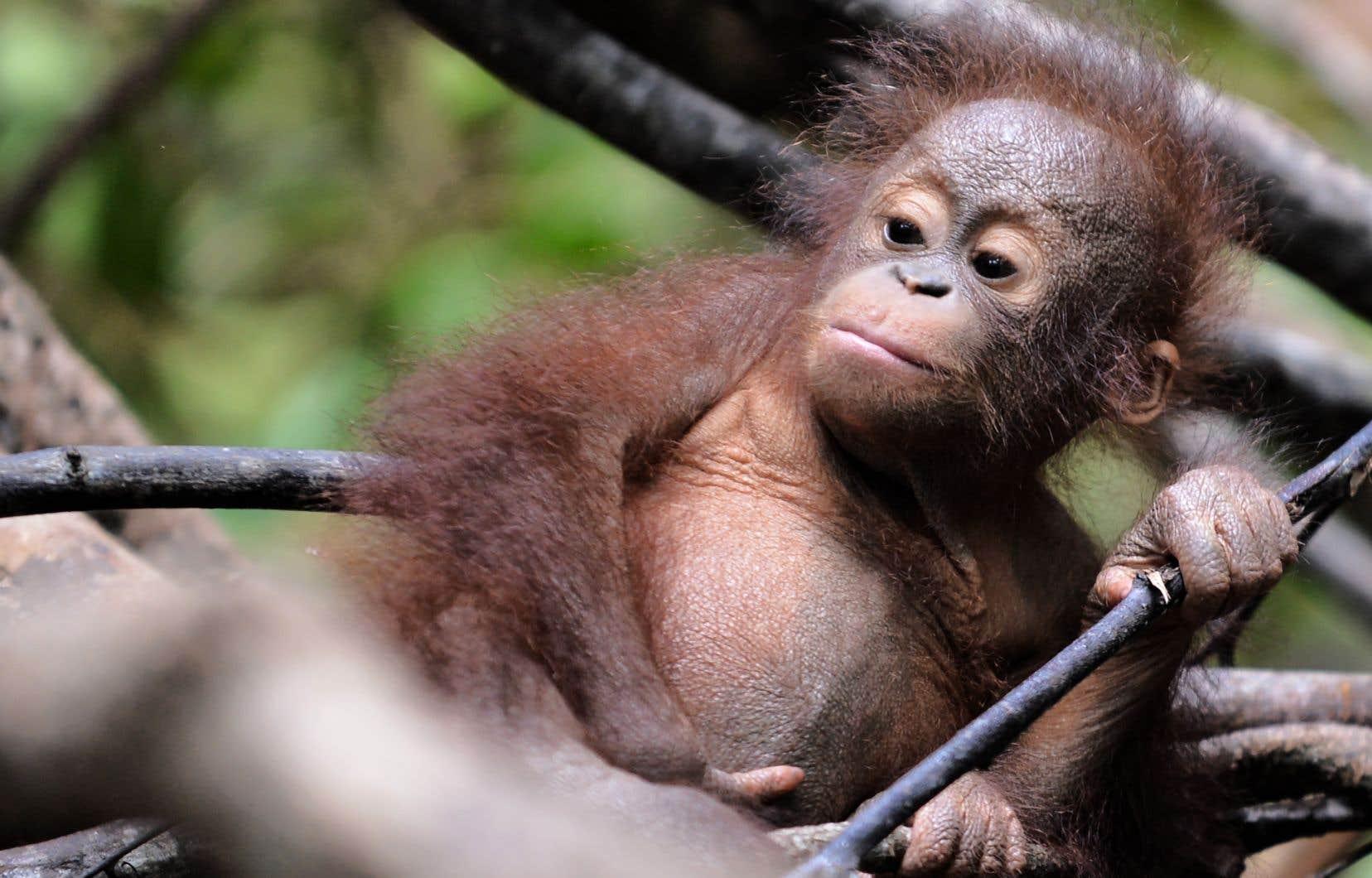 Un jeune orang-outan dans un refuge près de Ketapang, dans l'ouest de Kalimantan, en 2016