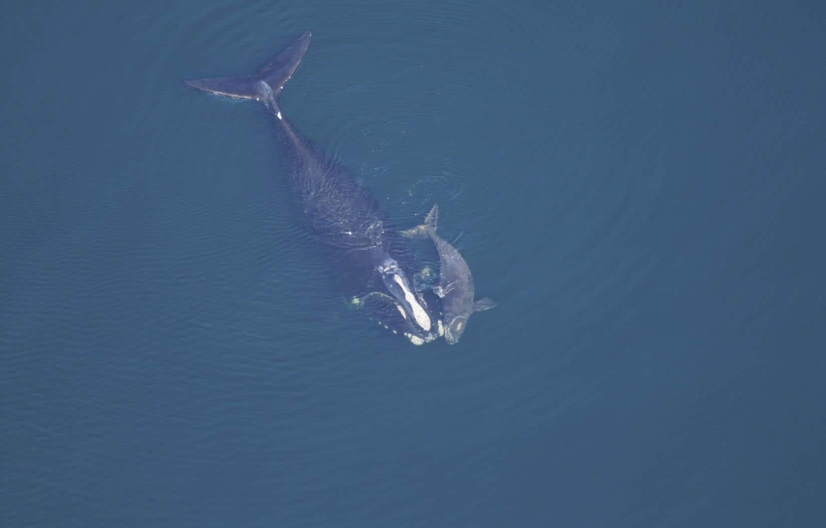 Les femelles baleines noires donnent habituellement naissance à leur baleineau entre la fin de novembre et le début du mois de mars.