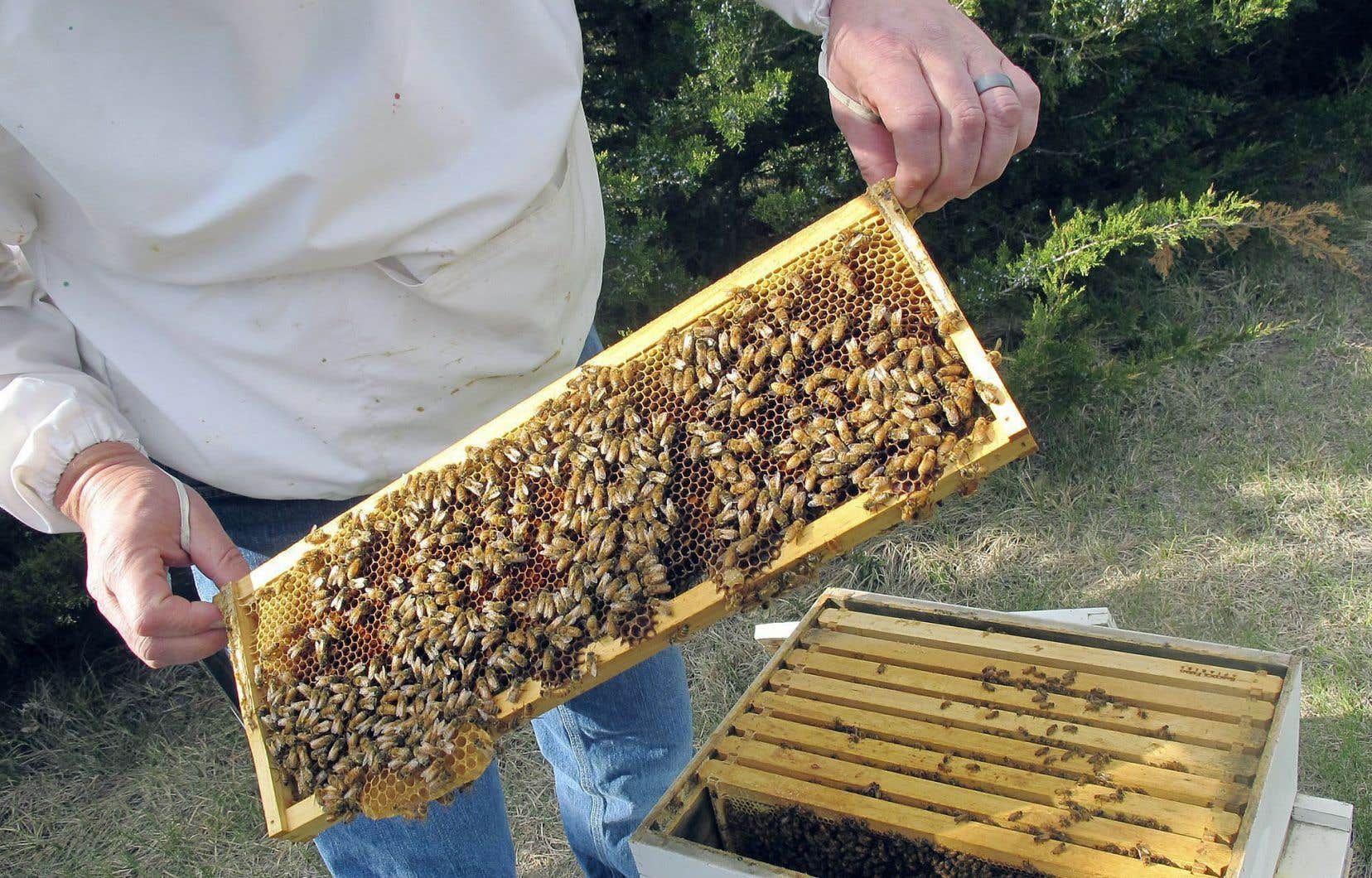 Le risque que les pesticides de type néonicotinoïde font courir aux abeilles domestiques a été confirmé par des centaines d'études scientifiques.