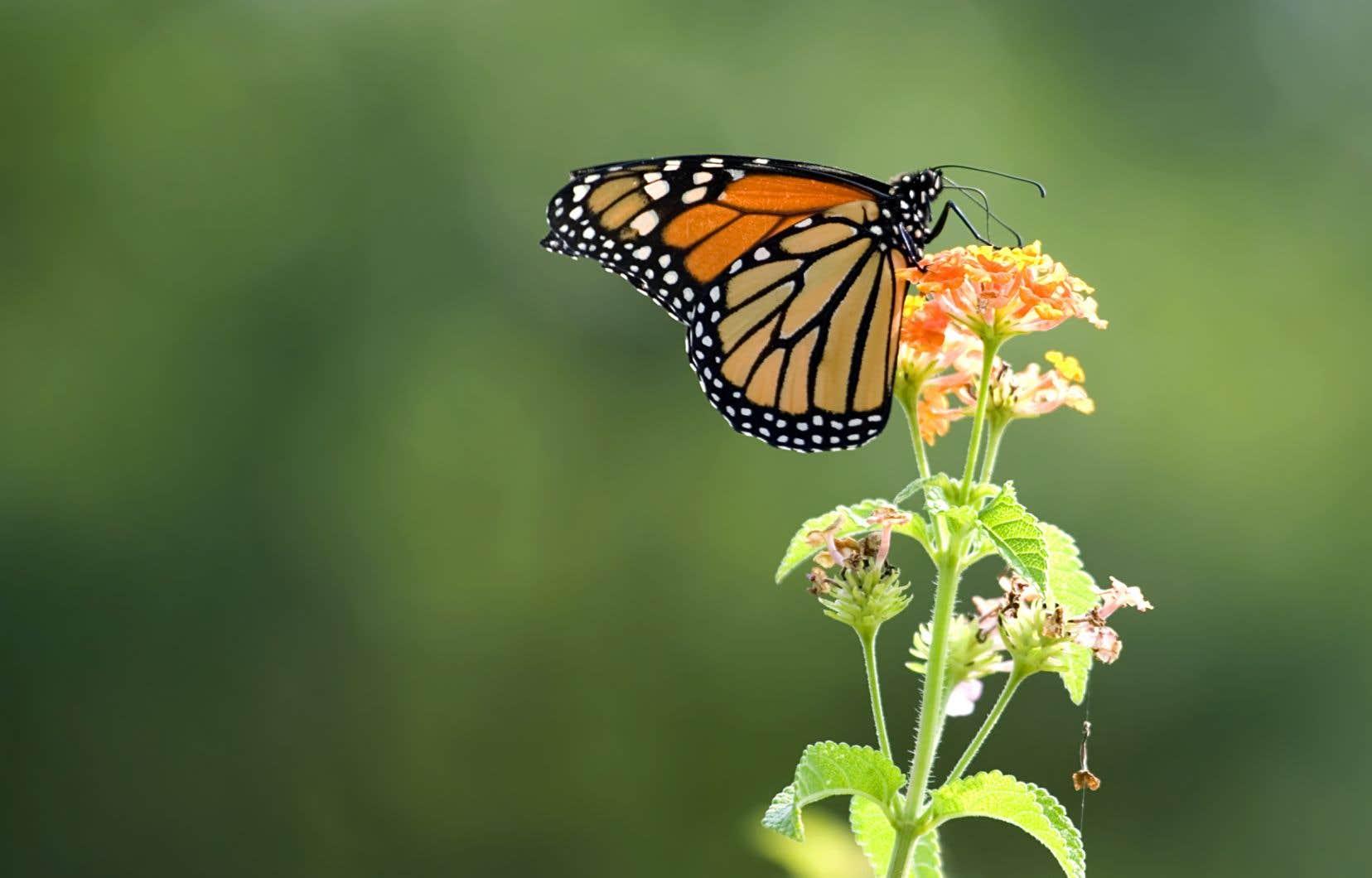 La perte d'habitat entraînée par la déforestation et les intempéries associées aux changements climatiques sont les principaux responsables du déclin de papillons monarques.