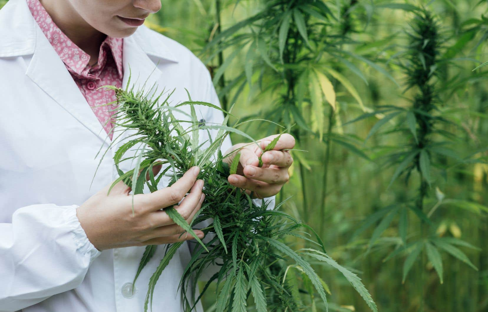 Santé Canada promet d'étudier la possibilité d'adopter «d'autres mesures» pour éviter que le crime organisé infiltre la production de cannabis.