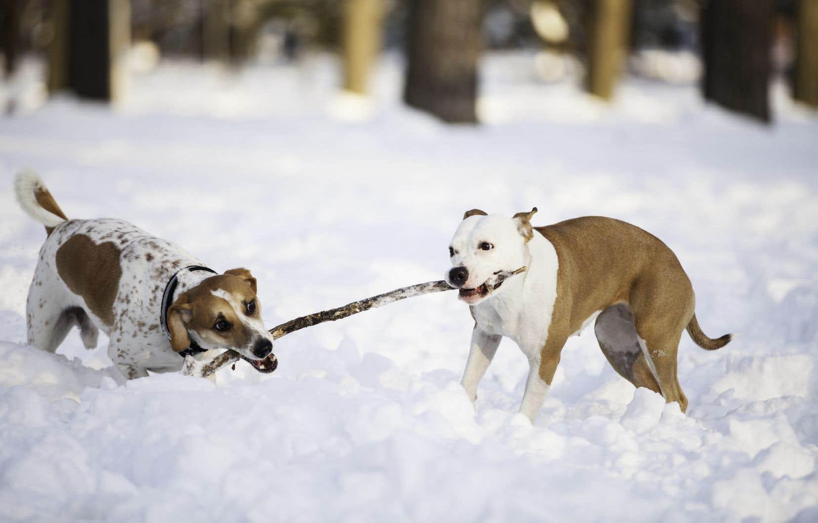 Selon les médecins vétérinaires, établir une liste de races de chiens dangereux est «utopique et inapplicable».