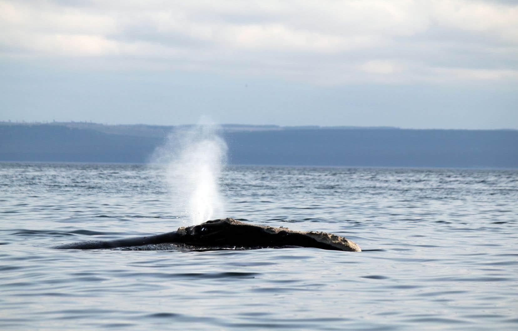 La portion du Saint-Laurent située au nord de l'île d'Anticosti est fréquentée assidûment par les baleines noires, selon les données d'observation récoltées au cours des dernières années.