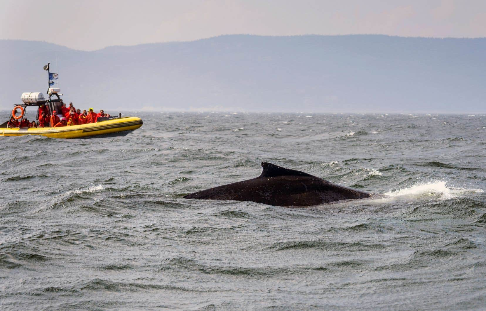 Bien que les bateaux puissent naviguer à 25 nœuds dans le parc marin, les opérateurs devraient réduire leur vitesse à 10 nœuds dans les eaux où se trouvent des baleines, fait valoir le BST.