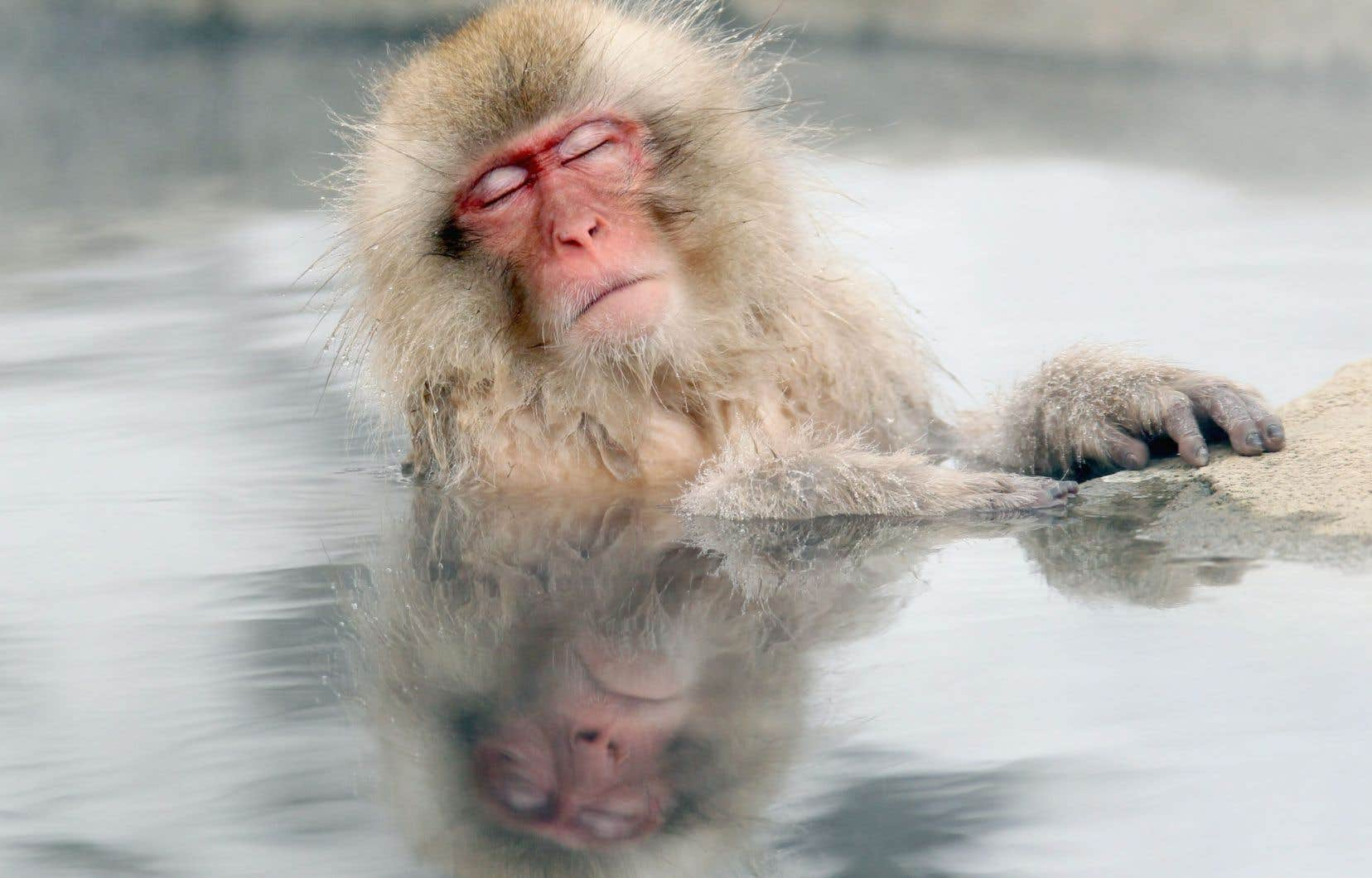 Les singes des neiges japonais sont connus pour aimer se baigner dans les sources d'eau chaude dans la région de Nagano.