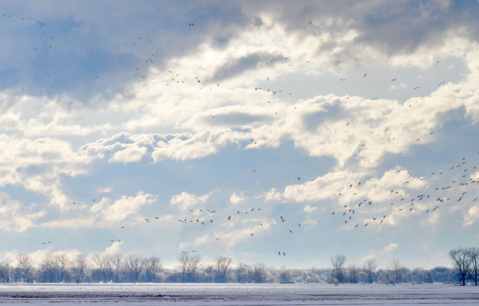 Au printemps, les lieux de repos et d'observation pour la population d'oies des neiges se concentrent dans les aires de pâturage situées sur les terres agricoles bordant le Saint-Laurent.