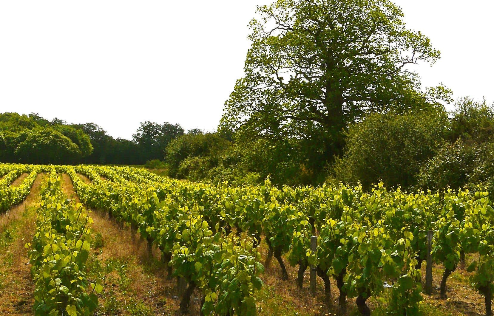 Des parcelles de cabernet franc plantées en son pays, la Loire
