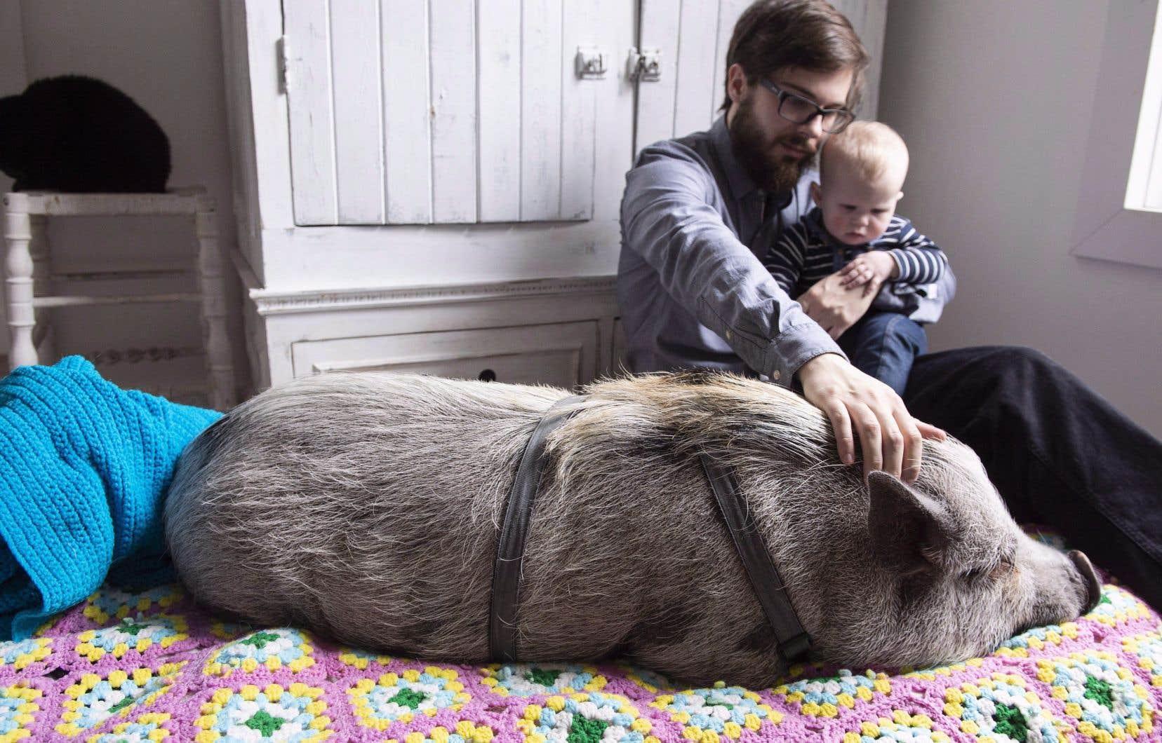 Le mois dernier, le cochon Babe avait fait les manchettes.