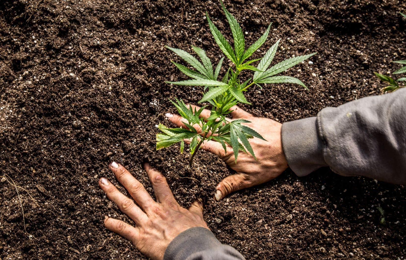 Le Manitoba joint sa voix à celle du Québec pour demander au Sénat de modifier le projet de loi légalisant le cannabis.