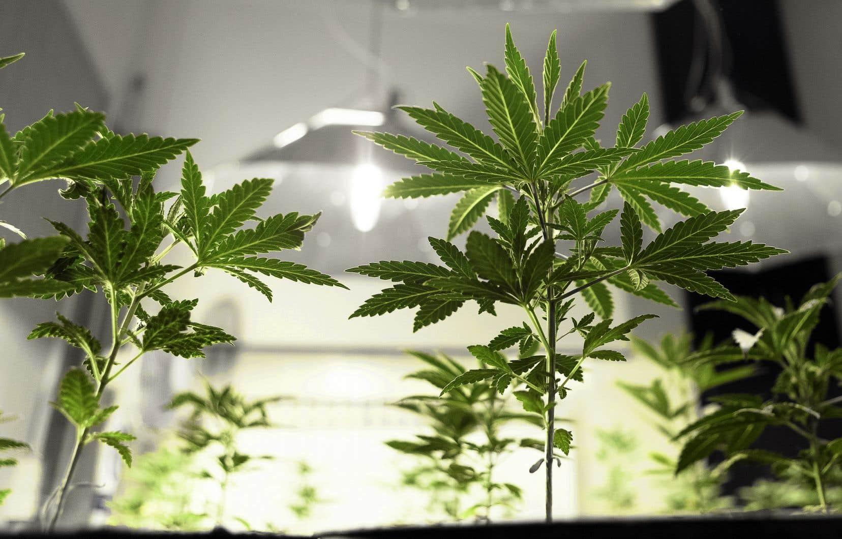 Au terme de deux mois d'étude, les sénateurs ont amendé le projet de loi légalisant le cannabis, afin de permettre aux provinces d'en interdire la culture à la maison.
