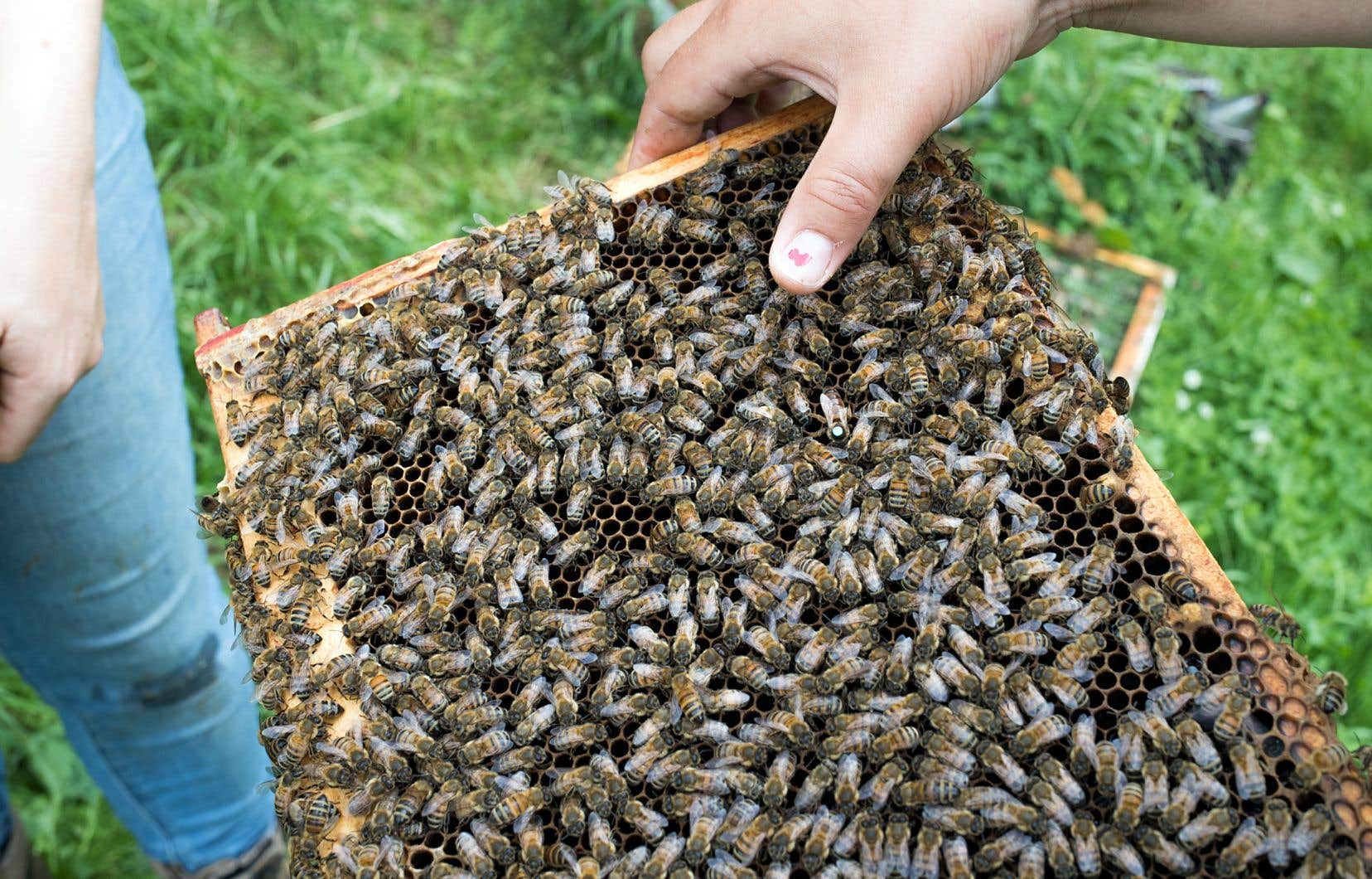 L'imidaclopride, un insecticide de la famille des néonics, peut être néfaste pour les insectes bénéfiques, comme les abeilles.