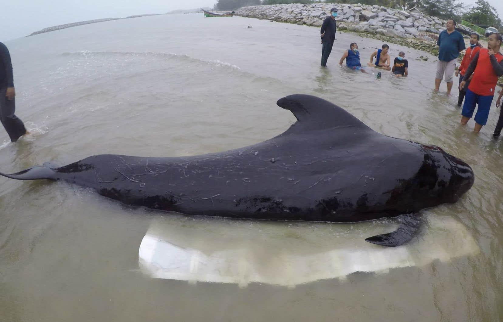 Selon l'autopsie, l'animal avait dans l'estomac 80 sacs en plastique qui pesaient environ huit kilos.