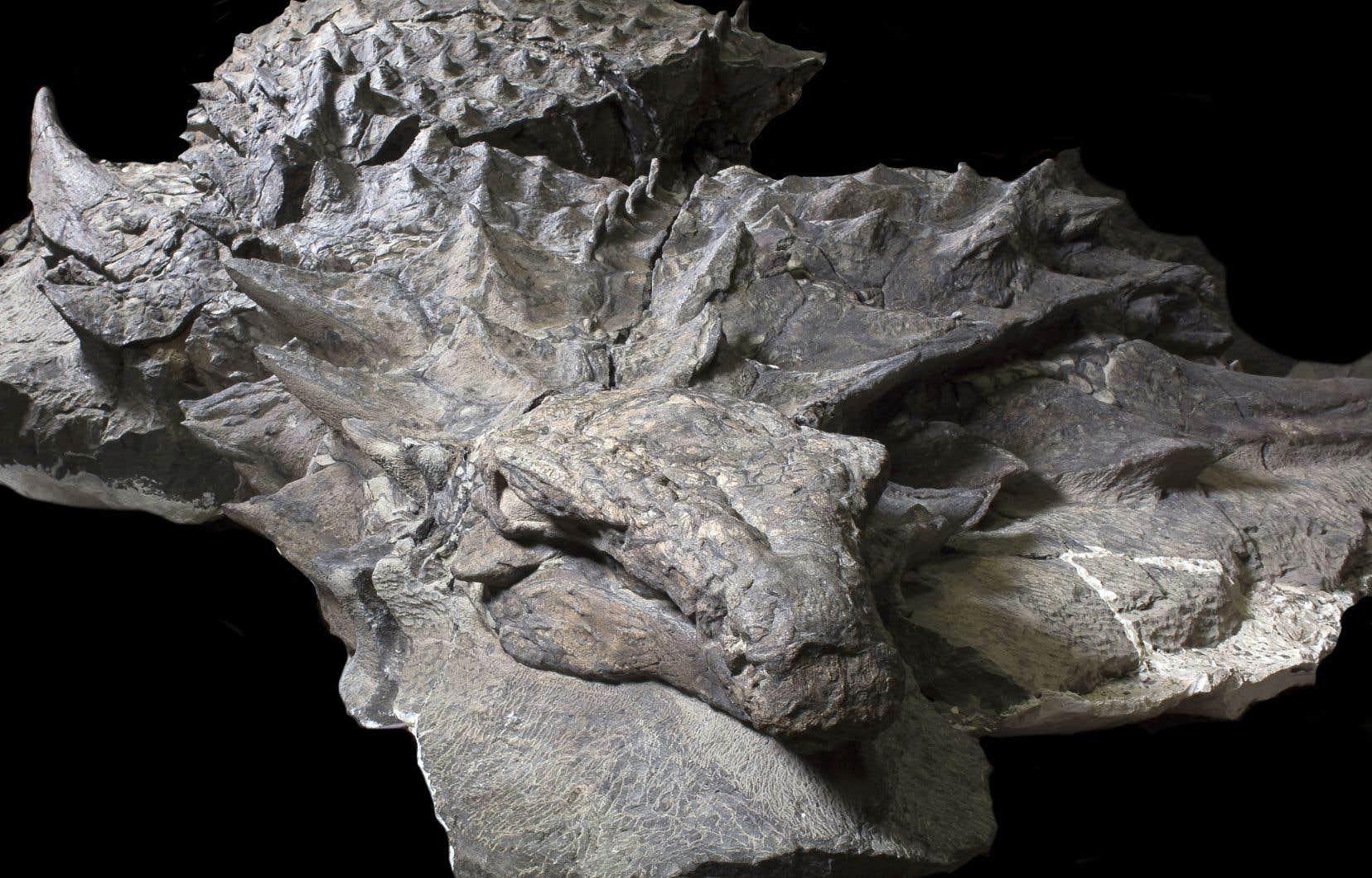 La carcasse de «borealopelta markmitchelli», découverte en 2011 dans le sous-sol albertain, est le dinosaure cuirassé le mieux conservé du monde.