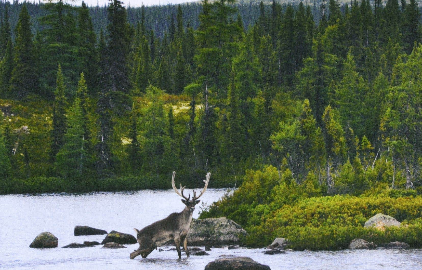 Un caribou solitaire sur la rivière Péribonka. Tiré du livre «Le Québec à 5 km/h».