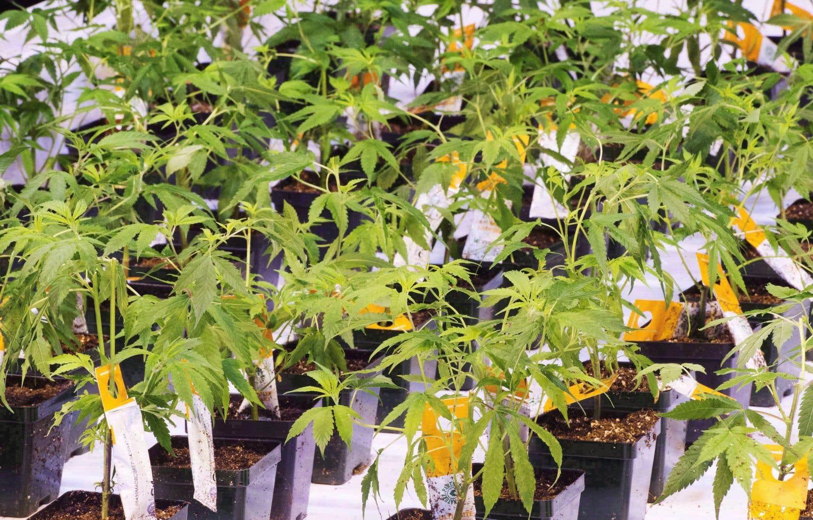 Le projet de loi encadrant la légalisation du cannabis au Québec a été adopté mardi matin.