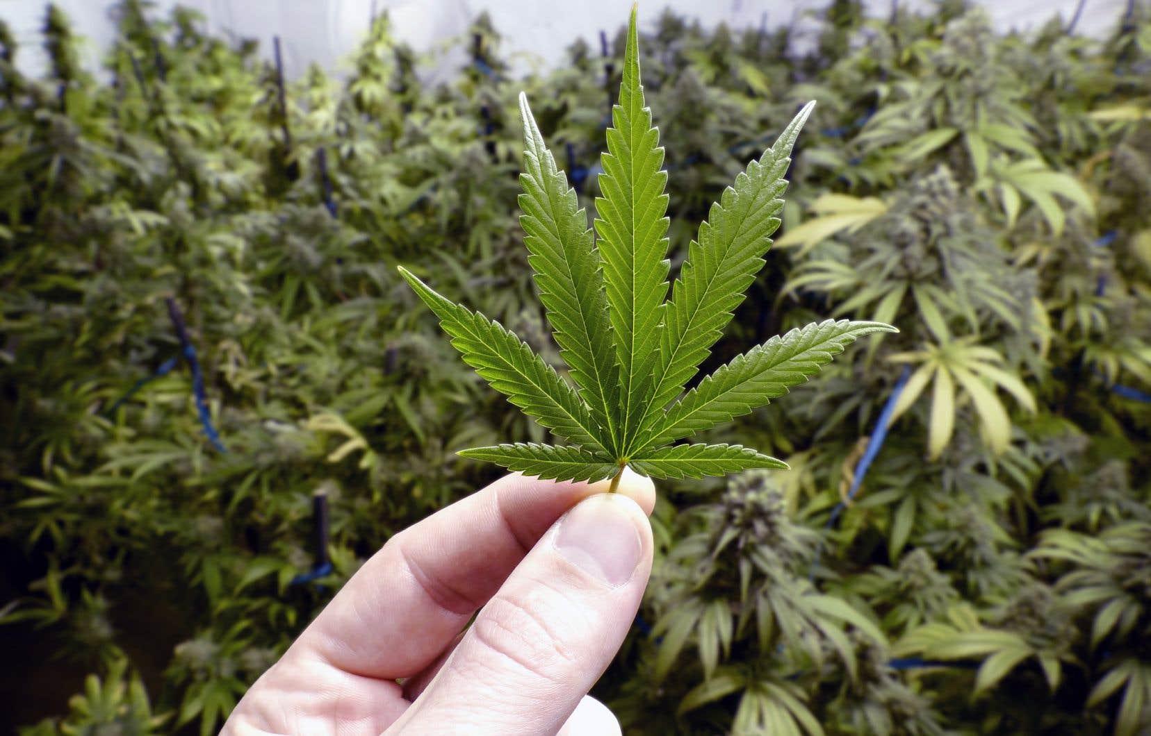 Justin Trudeau a catégoriquement rejeté la volonté du Sénat de permettre aux provinces comme le Québec et le Manitoba d'interdire la culture de cannabis à domicile.