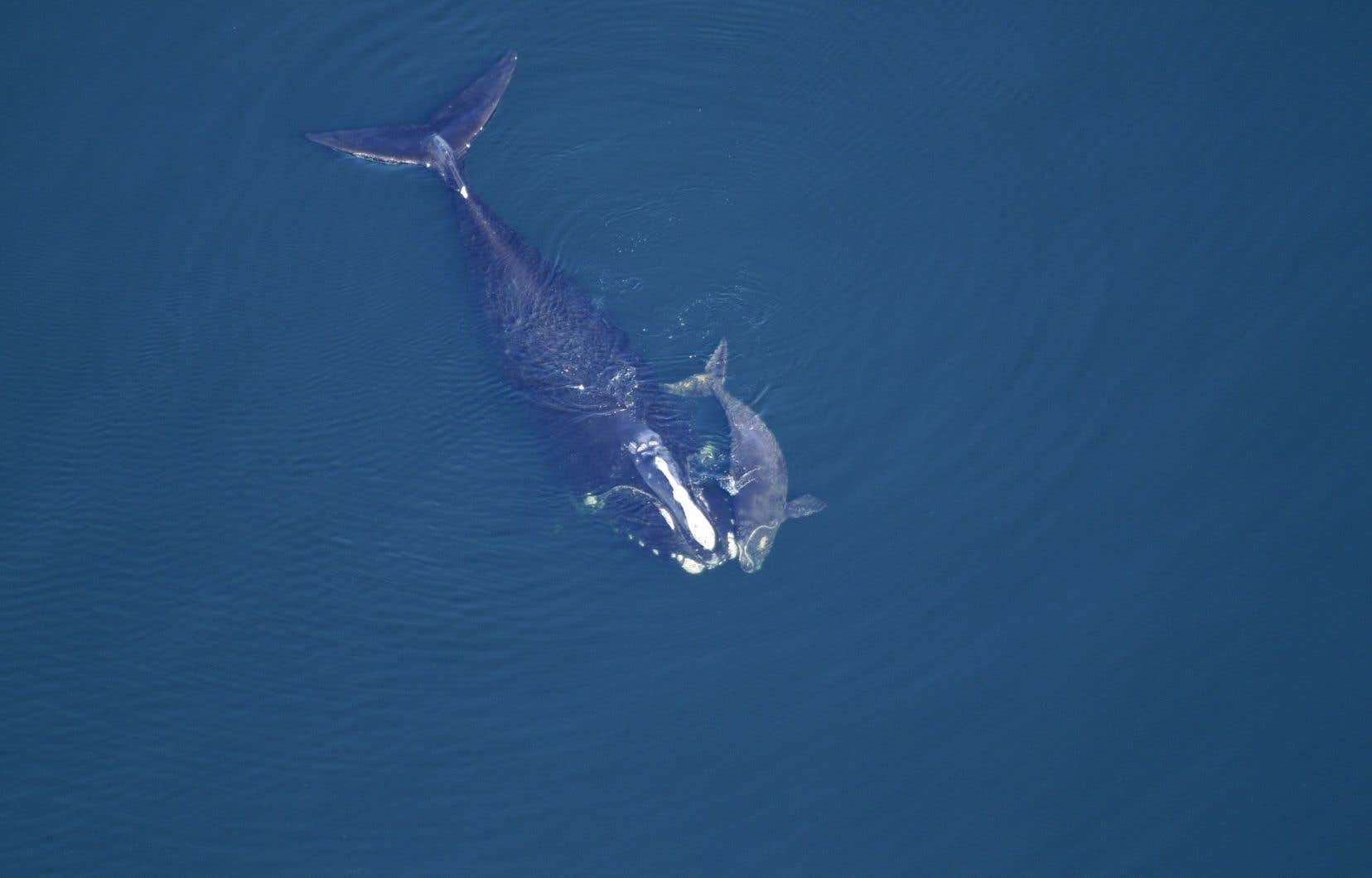L'opération permettra d'en apprendre beaucoup sur les mammifères marins dans le golfe du Saint-Laurent.