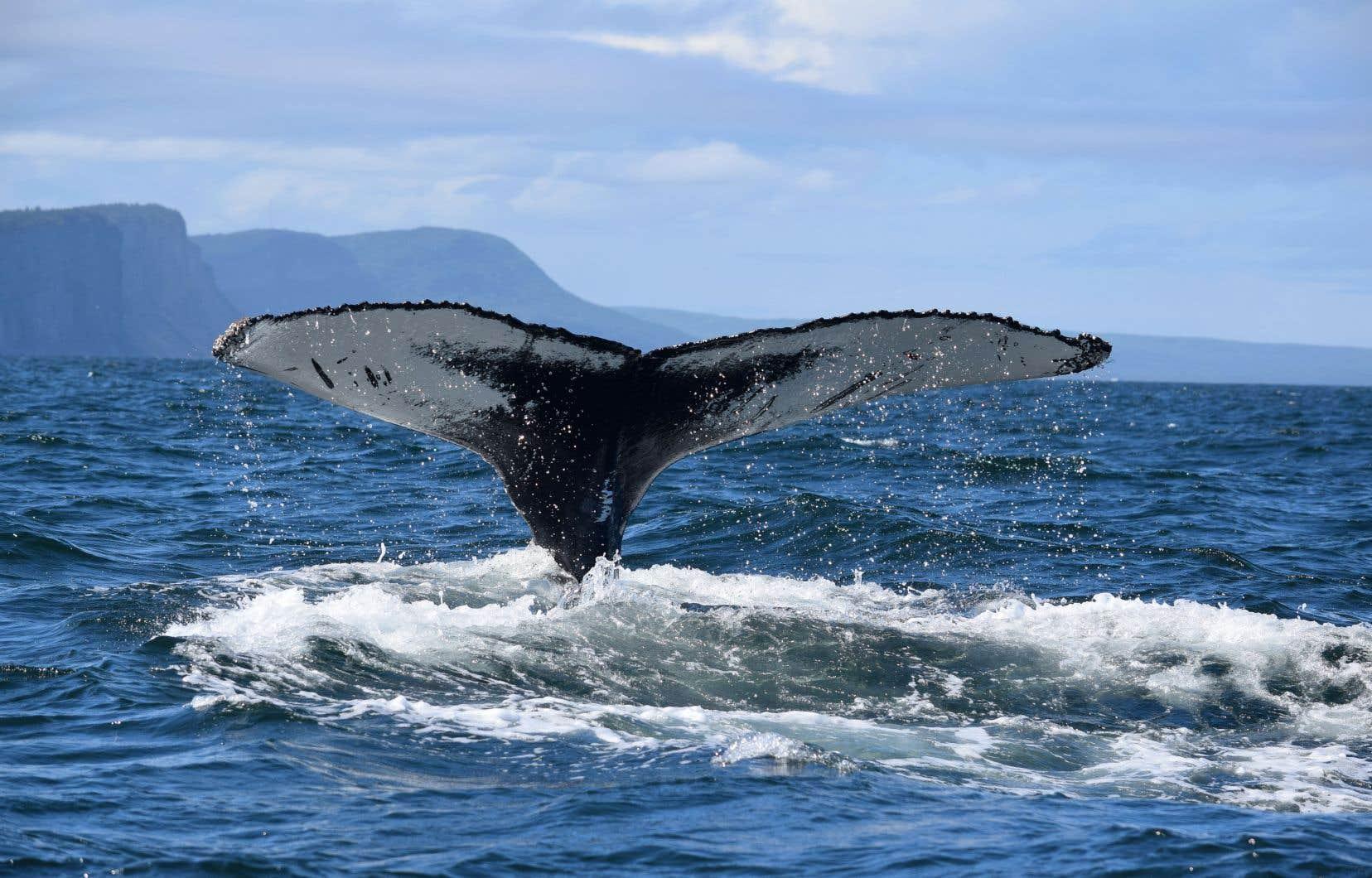 Les baleines à bosse fréquentent assidûment la zone située au large de Gaspé, un secteur ciblé pour la création d'une aire marine protégée.