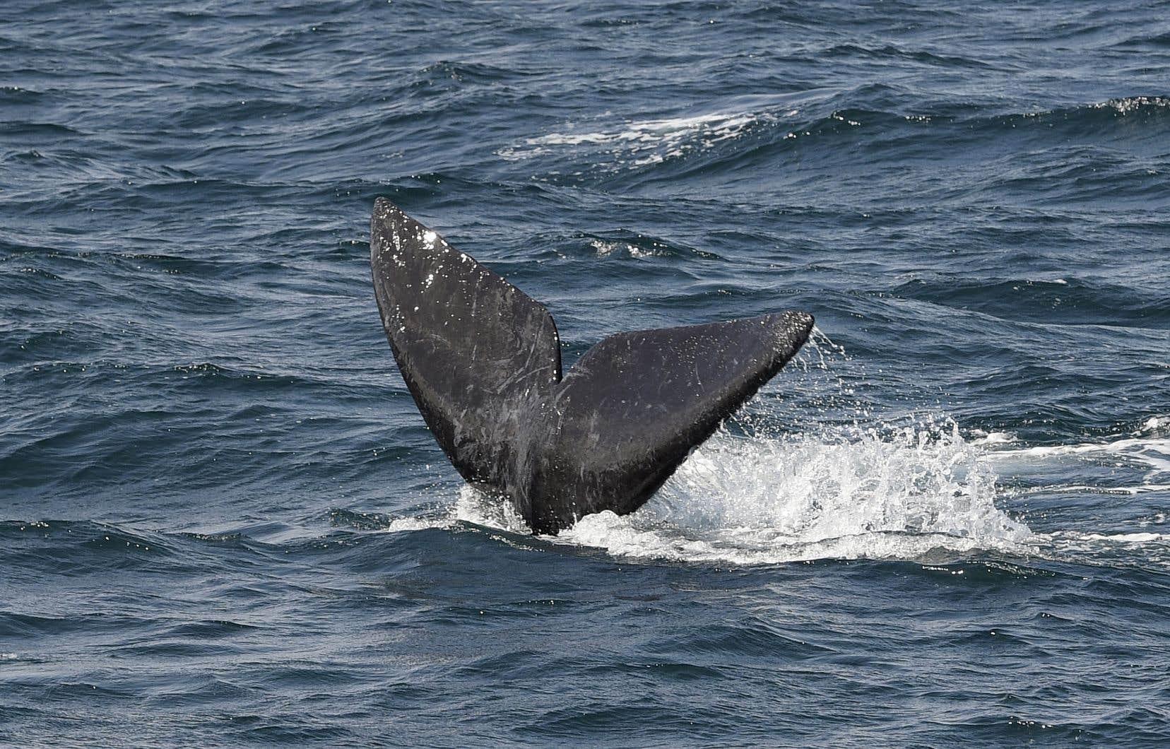 L'an dernier, 18 décès ont été répertoriés parmi la population de baleines noires de l'Atlantique Nord, dont 12 en eaux canadiennes.
