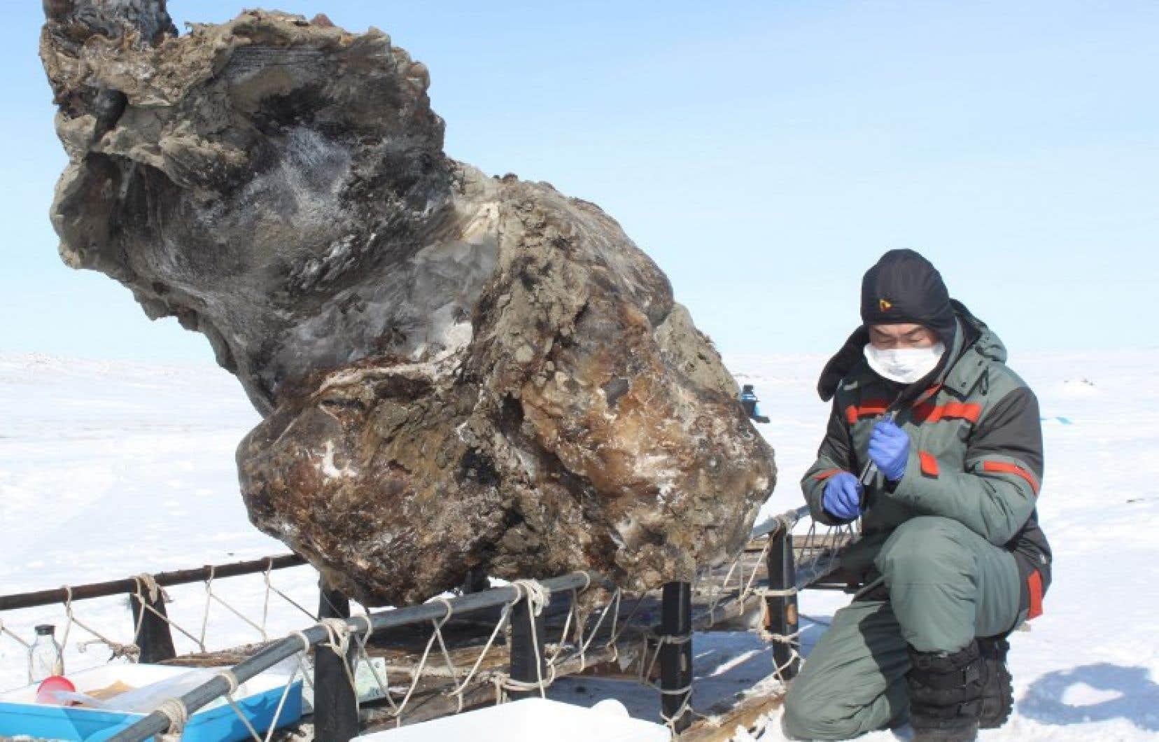 Un chercheur russe travaillant sur une carcasse de mammouth retrouvée sur une île de l'océan Arctique, en 2013