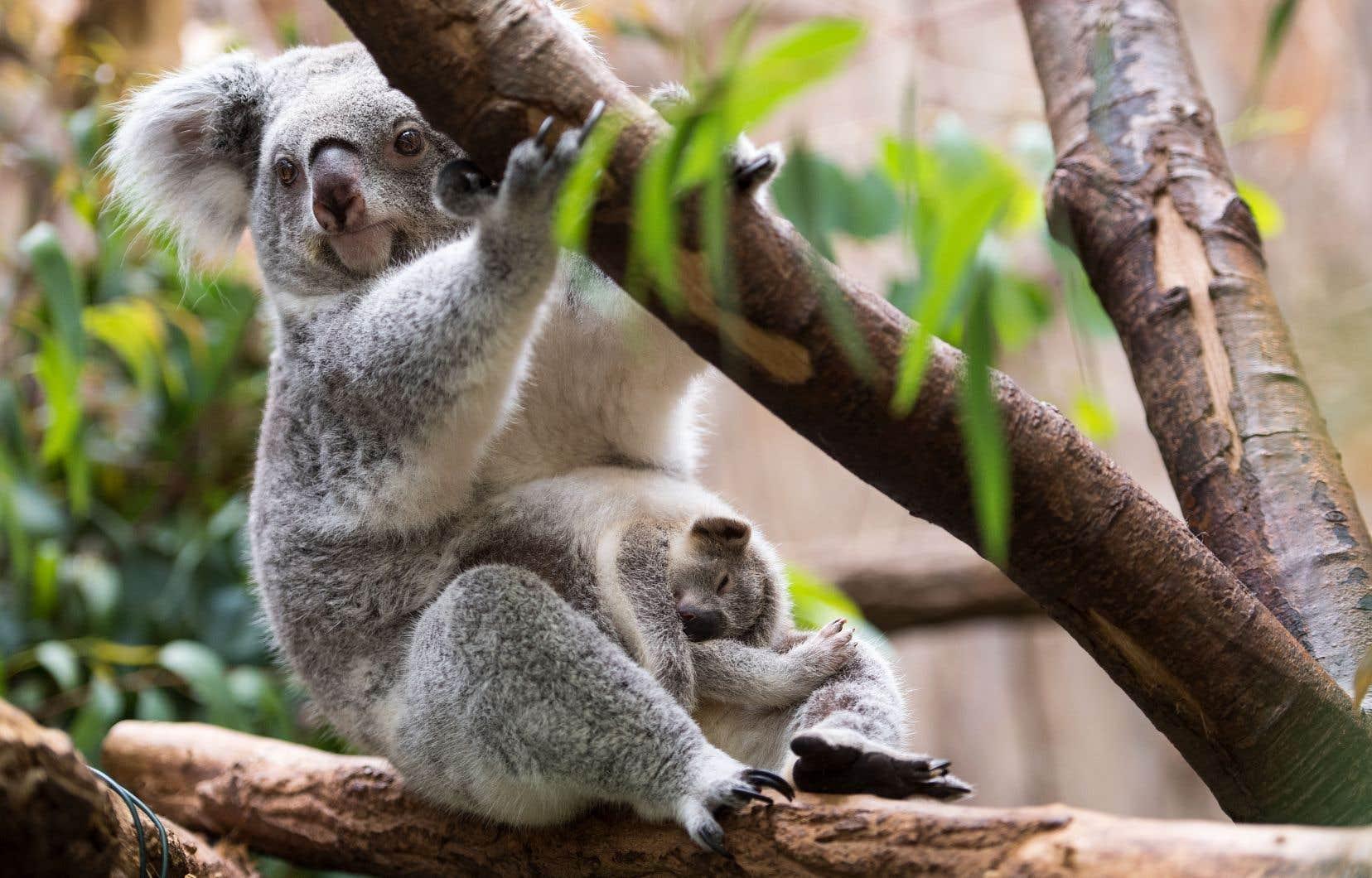 On trouve des koalas sauvages dans les forêts de l'est et du sud-est de l'Australie ainsi que sur certaines îles du continent.