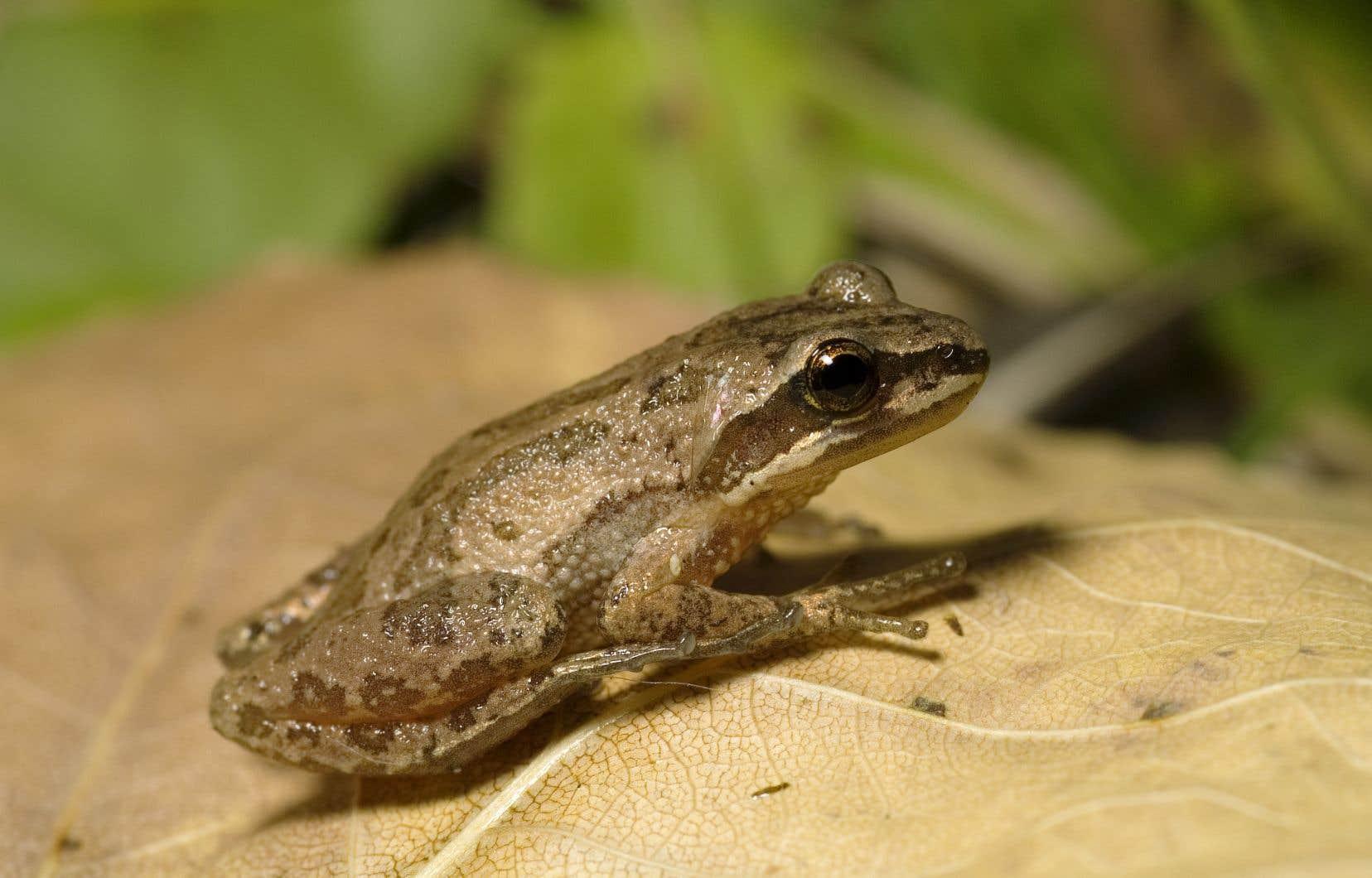 La petite grenouille en voie de disparition faisait l'objet d'une bataille judiciaire depuis deux ans.