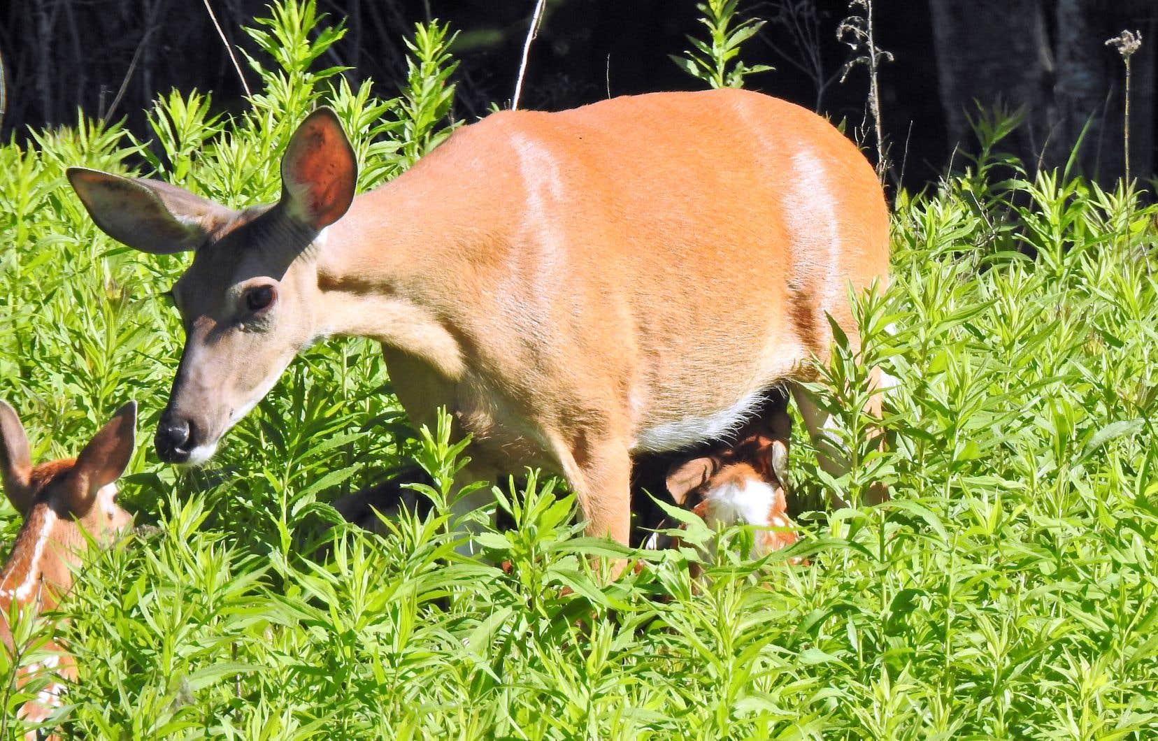 Les résidents de la ville de Mont-Saint-Hilaire ont l'habitude de croiser des cerfs dans les rues résidentielles et de protéger leurs jardins contre leur appétit.