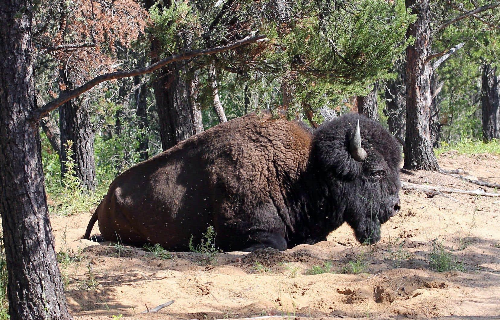 L'étude fédérale a été conduite en raison des inquiétudes soulevées à l'égard du statut de patrimoine mondial de l'UNESCO du parc. En photo: un bison dans le parc Wood Buffalo, en Alberta.